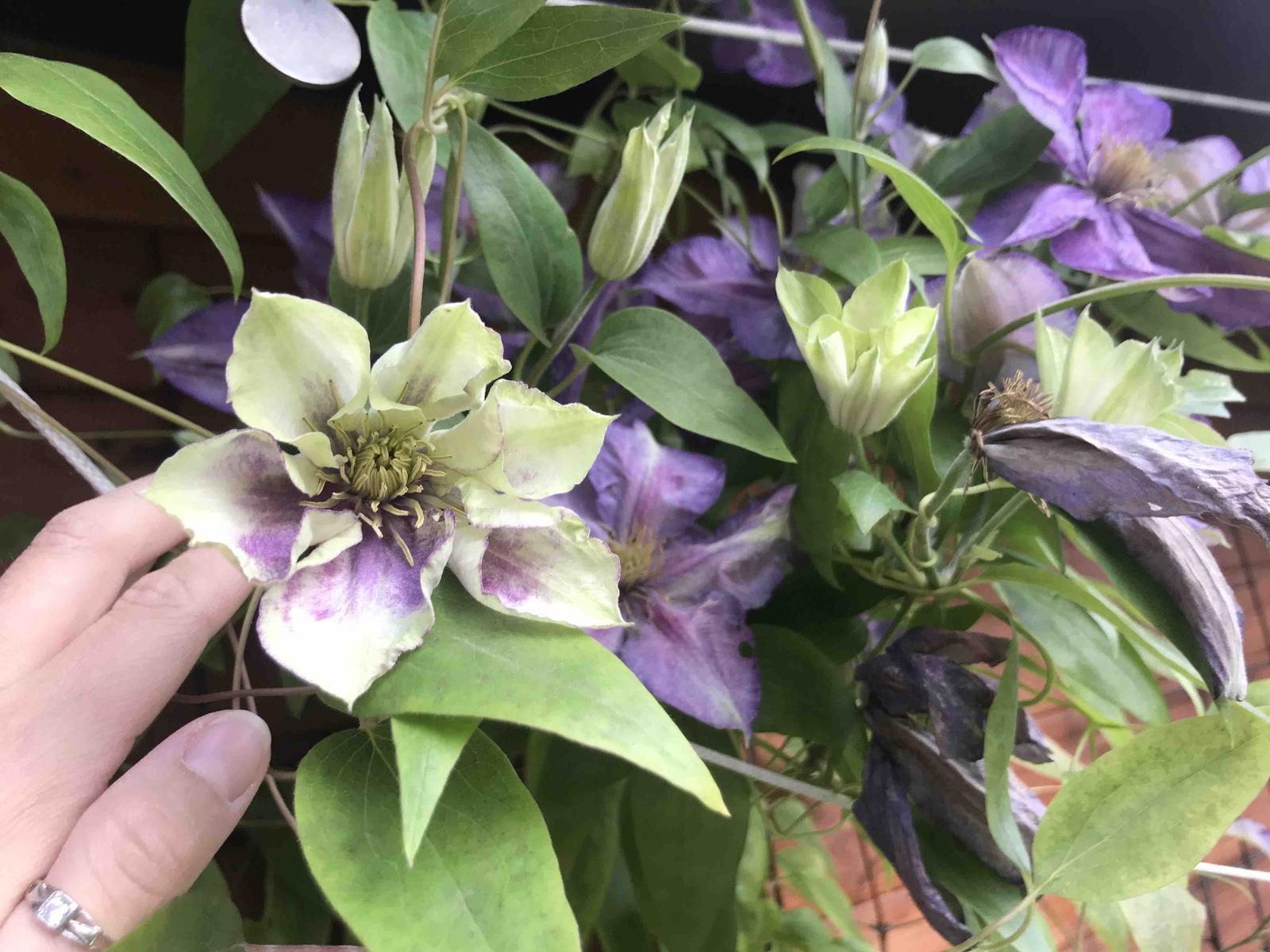 Naše barevná zahrada 🌸 - Tento má úplně novou barvu 🙉 některé květy jsou úplně světlé 🙉