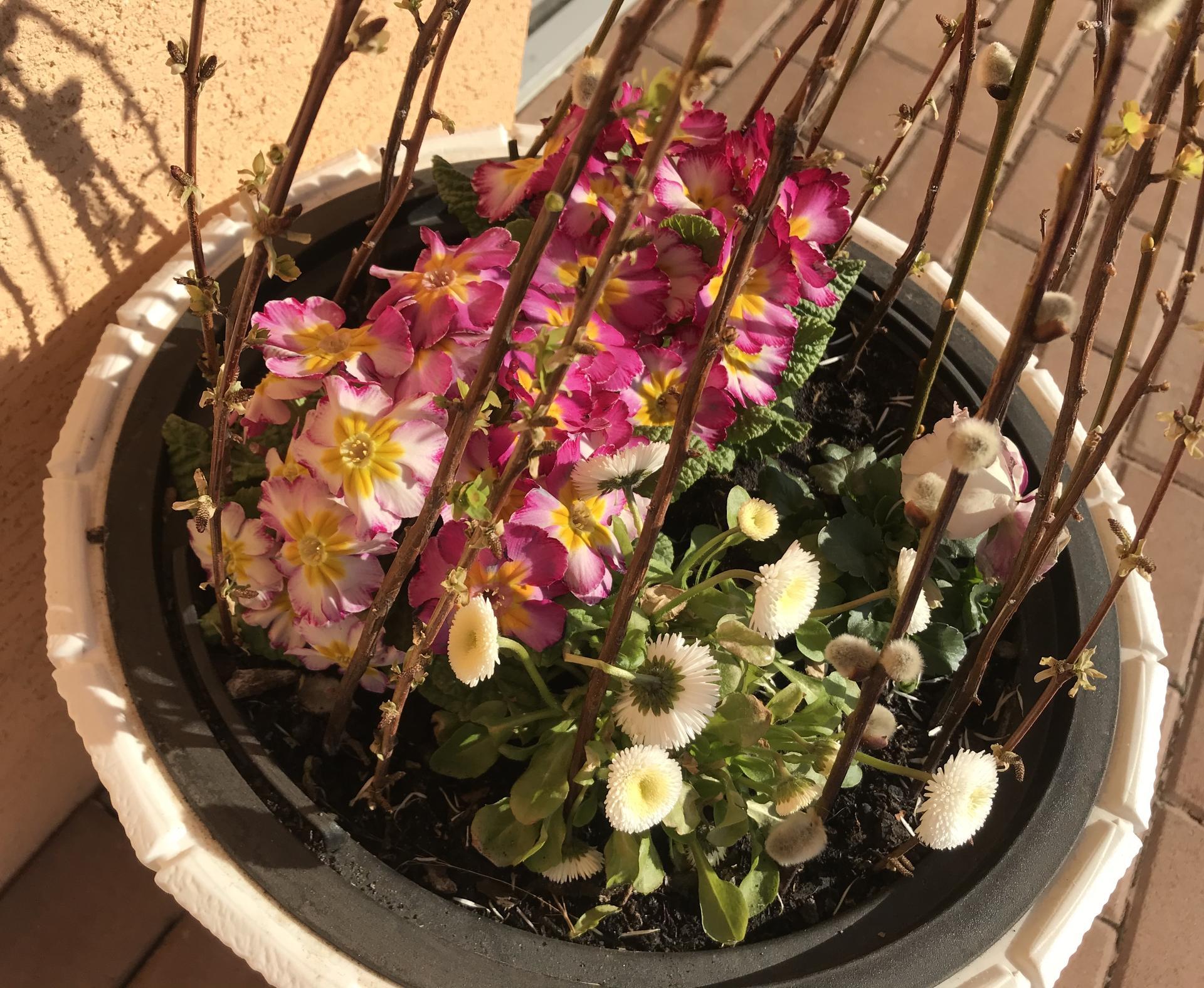 Naše barevná zahrada 🌸 - Jarní truhlíky dělají stále radost 🌸