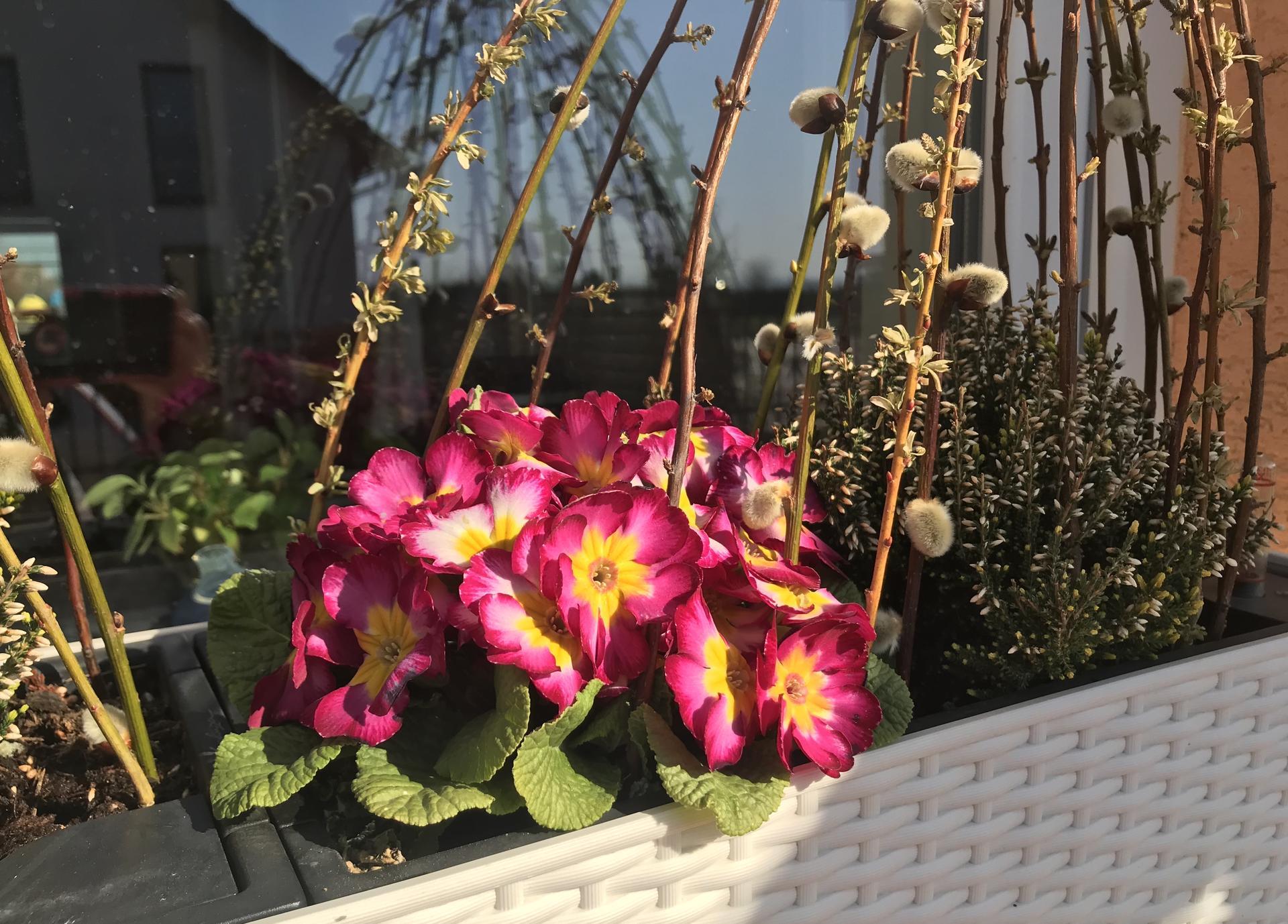 Naše barevná zahrada 🌸 - Primulkám se krásně daří 🤗