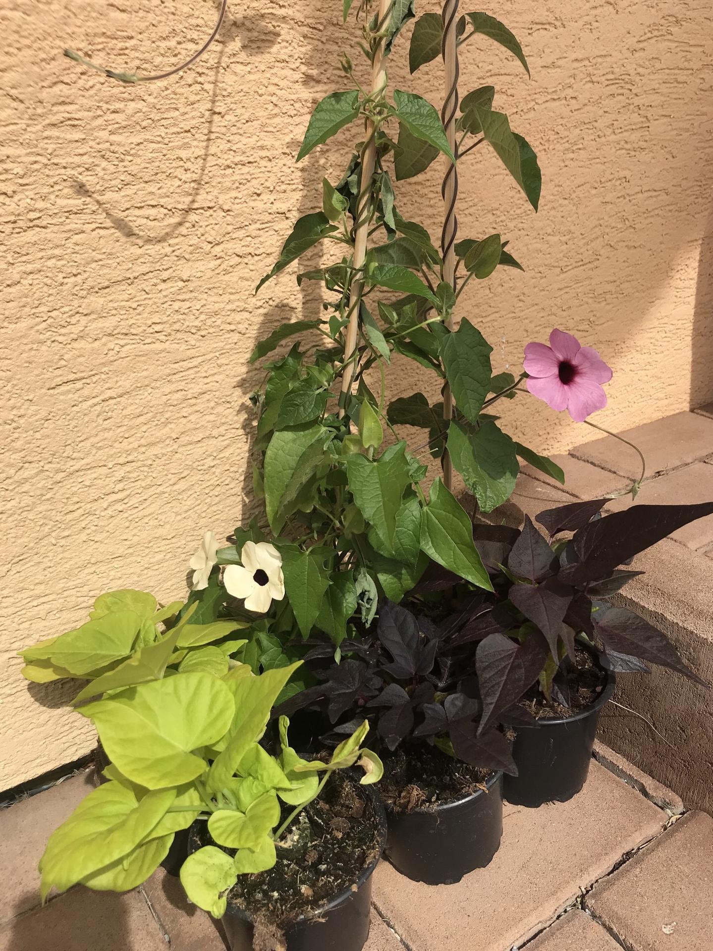 Naše barevná zahrada 🌸 rok 2020 - Černooké Zuzany budou barvičky loni