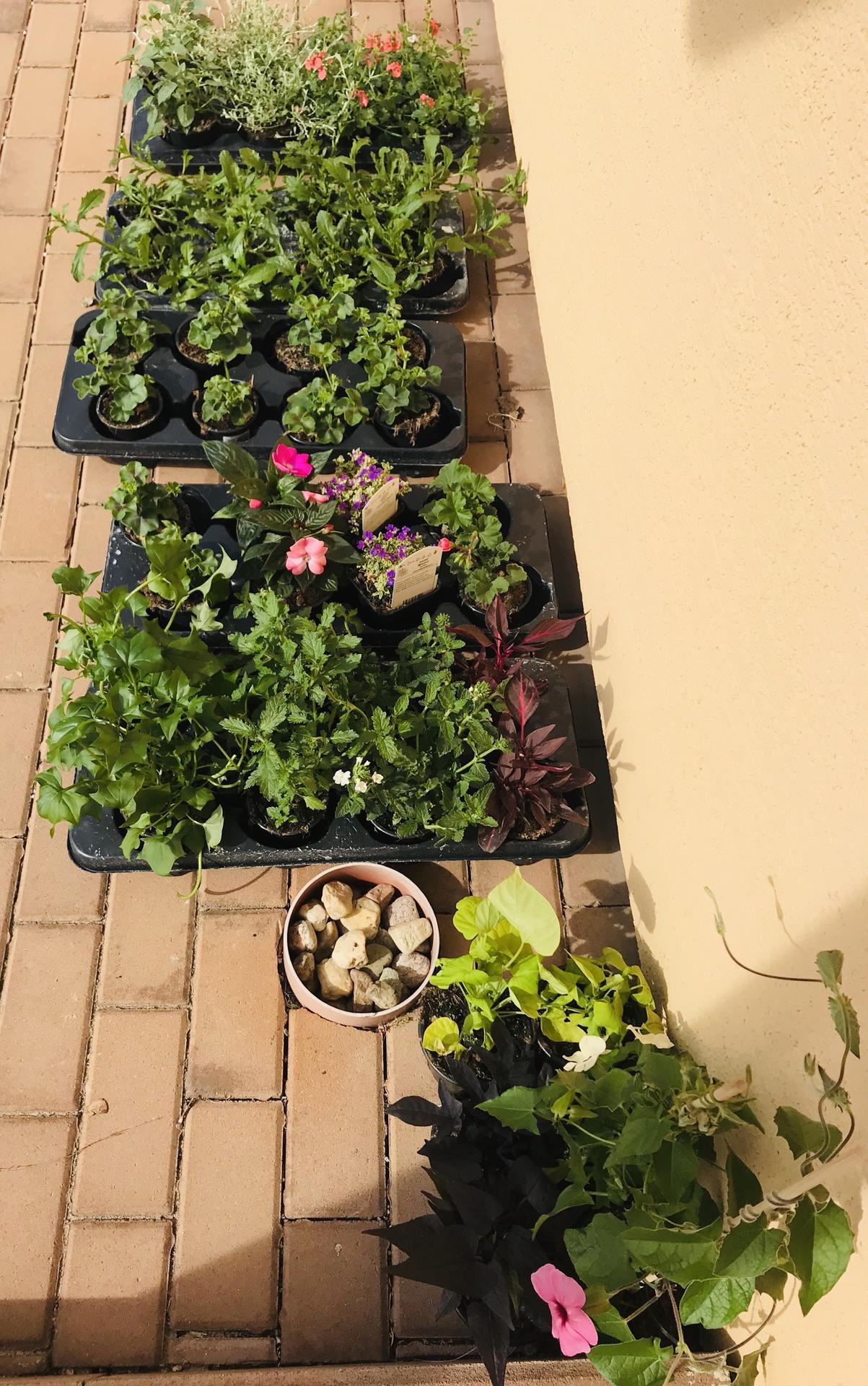 Naše barevná zahrada 🌸 rok 2020 - Letničky 🌸🤗🌸 fuchsie, muškát převislý i vzpřímený, vějířovka, černooká Zuzana, břečťan jako letnička, batáty, verbena, diascie a pak ještě další a další u kterých už název nevím 🙉