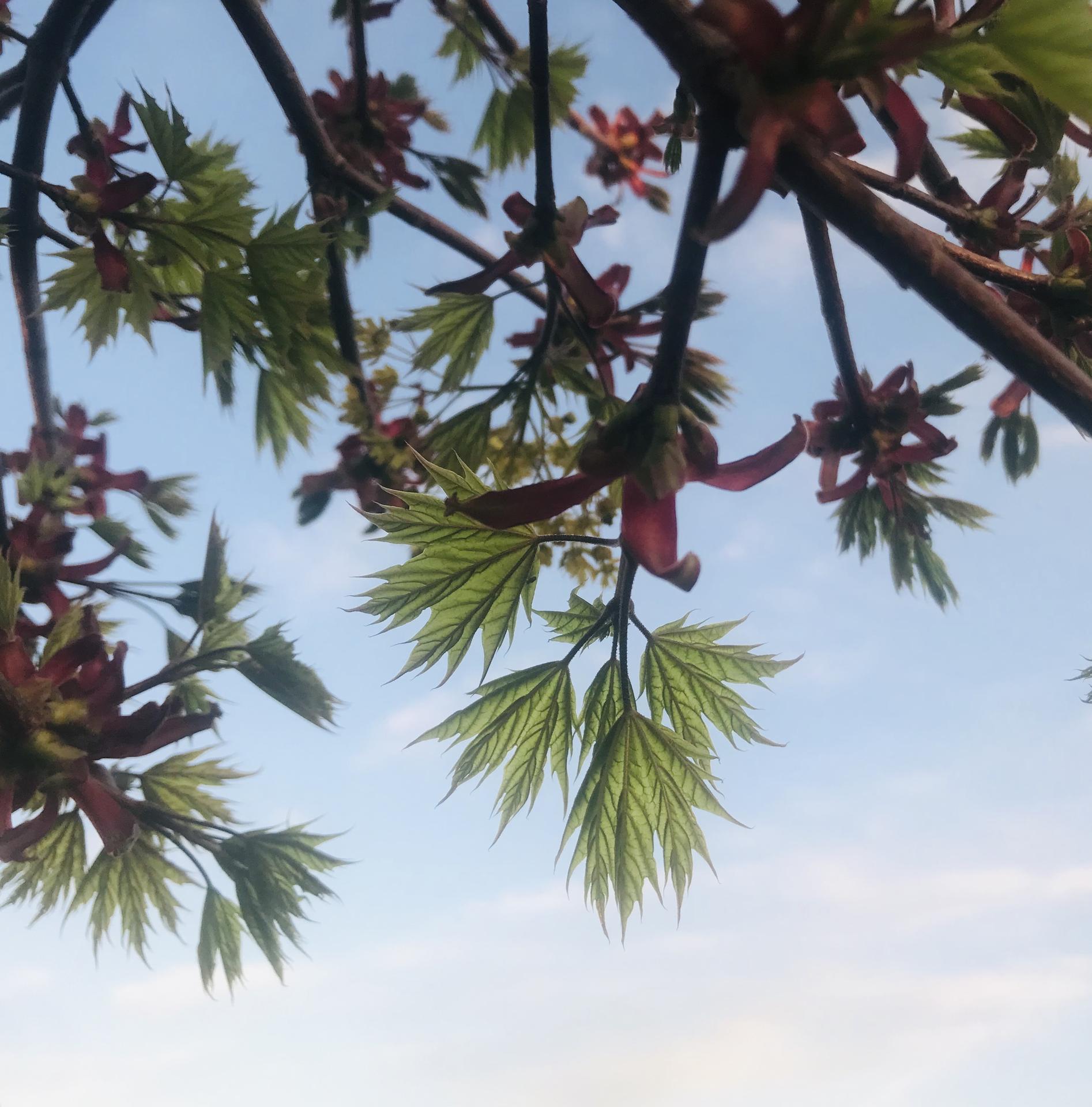 Naše barevná zahrada 🌸 - Nové listy javoru 🤗