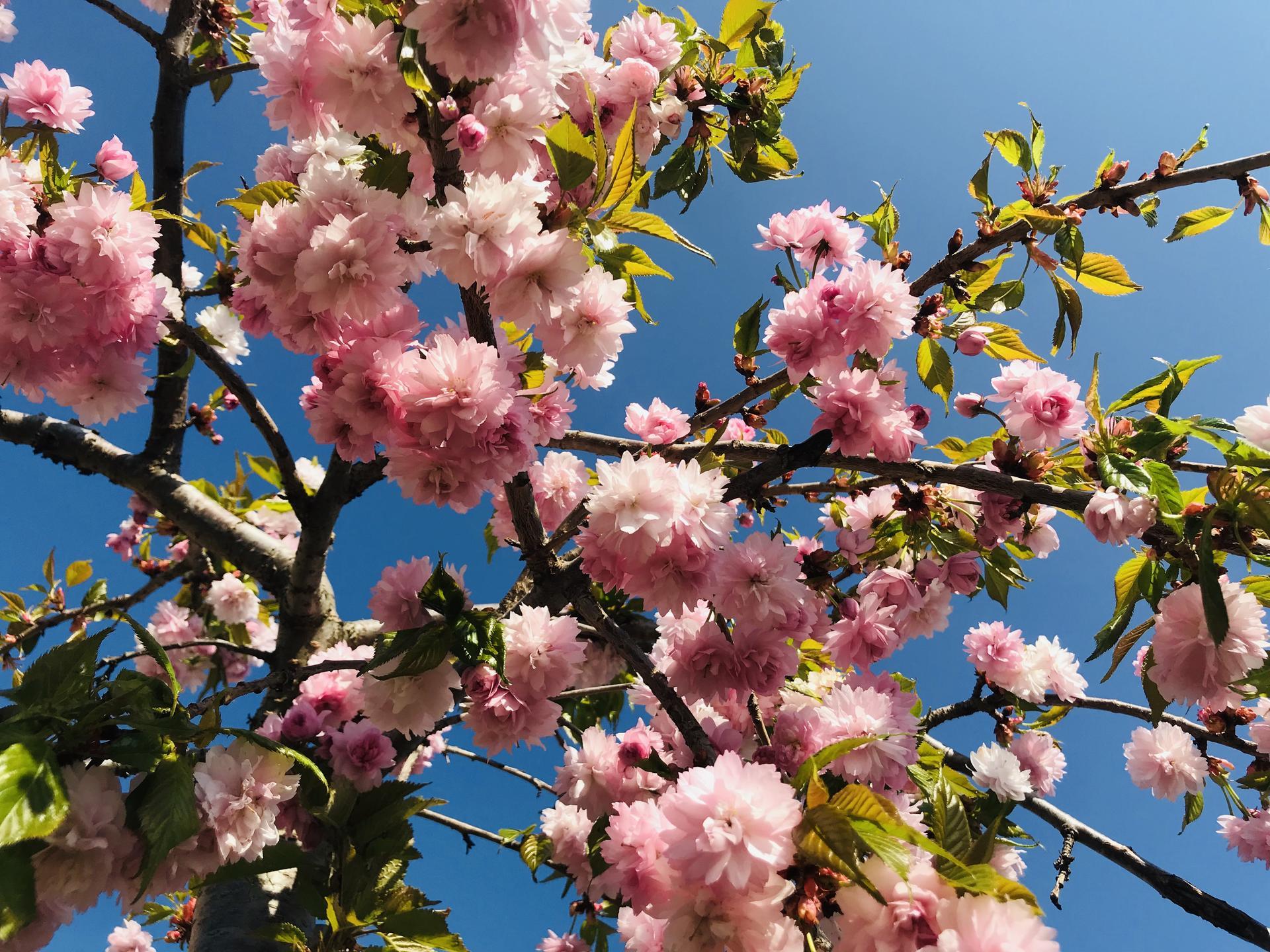 Naše barevná zahrada 🌸 - Prunus serrulata 'Kiku- Shidare zakura'