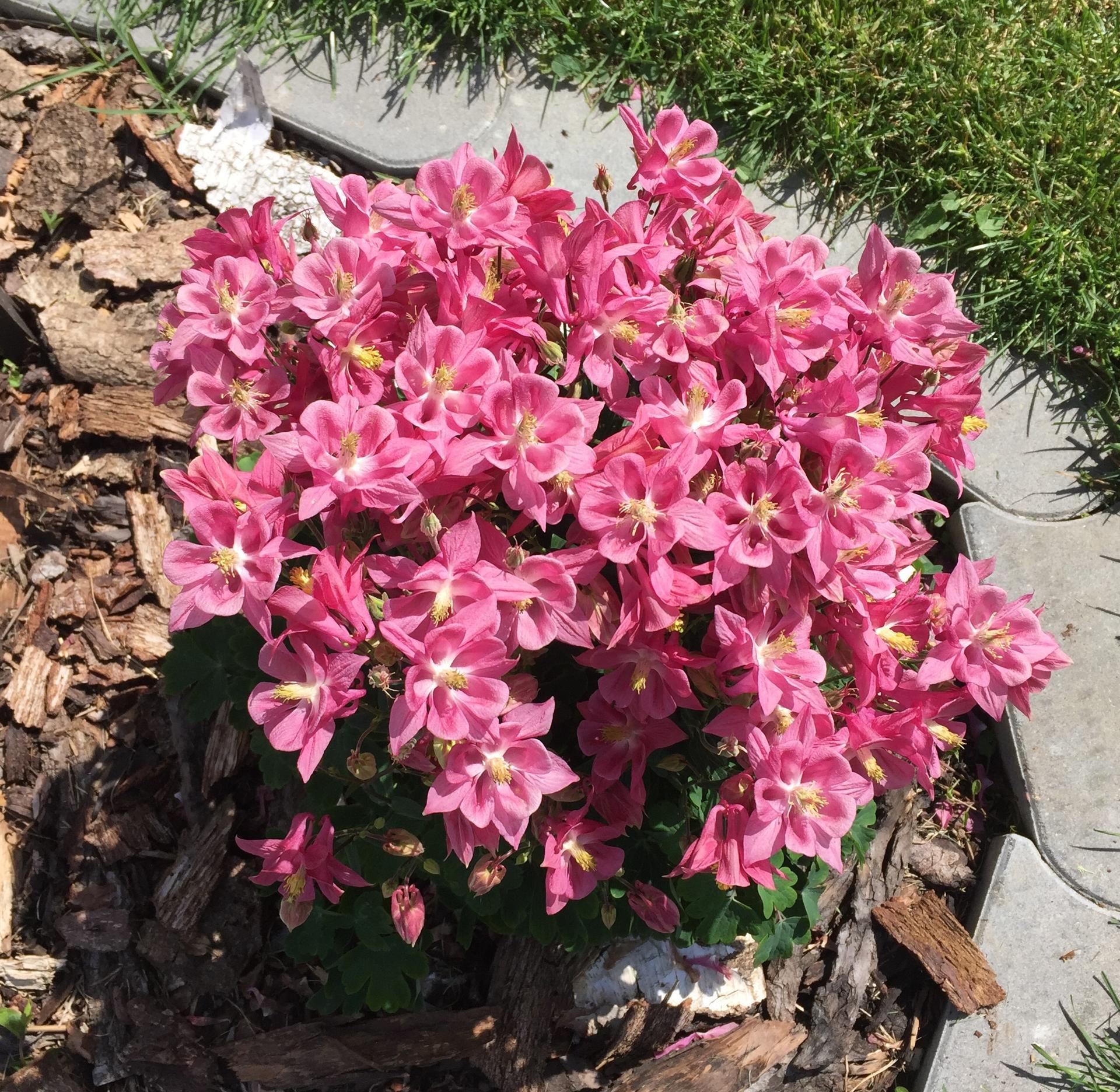 Naše barevná zahrada 🌸 - Zase ten orlíček - myslela jsem, že už snad více ani kvést nemůže 🙉🌸