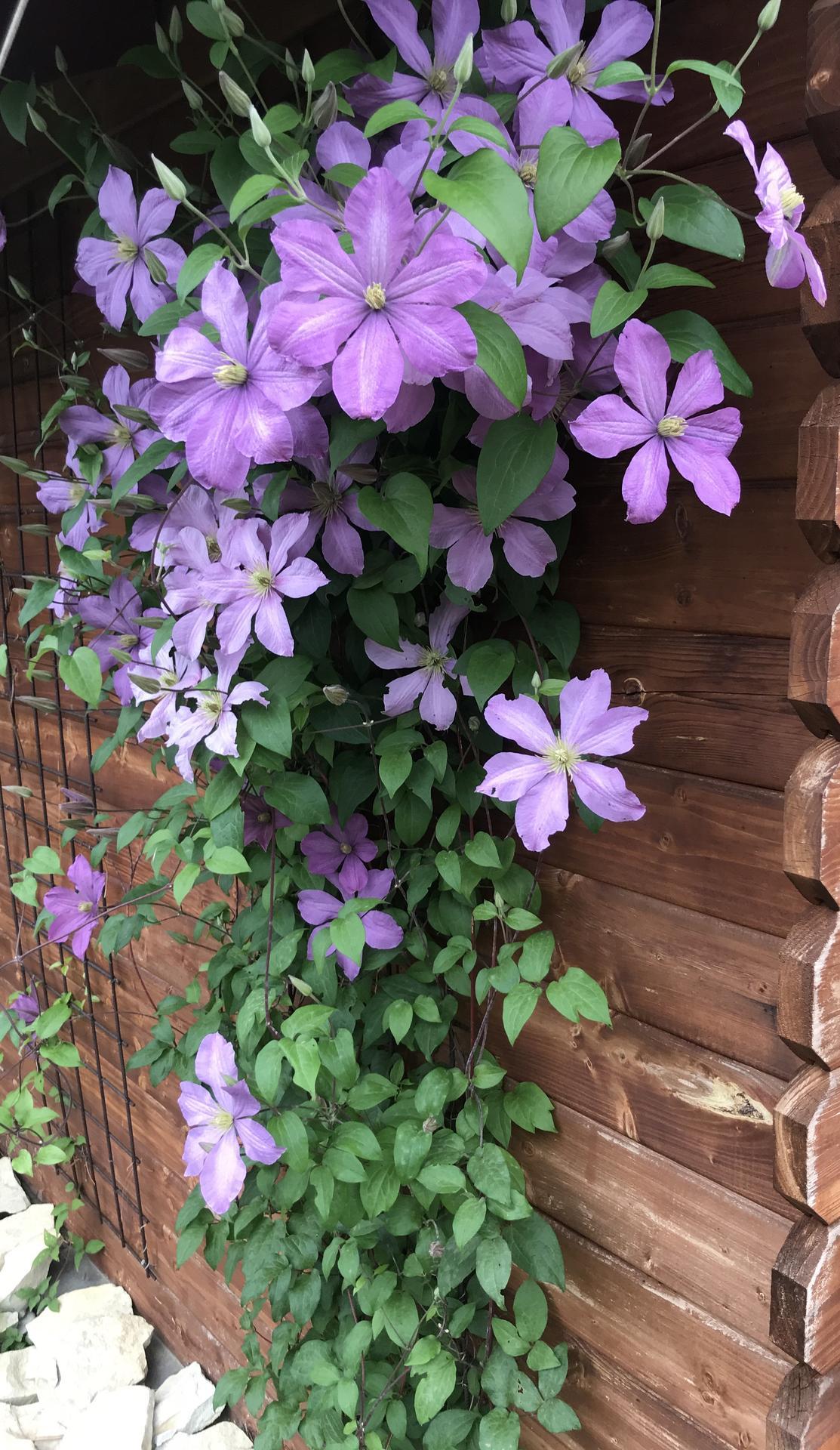 Naše barevná zahrada 🌸 - Koncem srpna jsem ho fikla uplne u zeme - mel padli, neuveritelne znovu obrazil a stihl jeste krasne vykvest 🤗