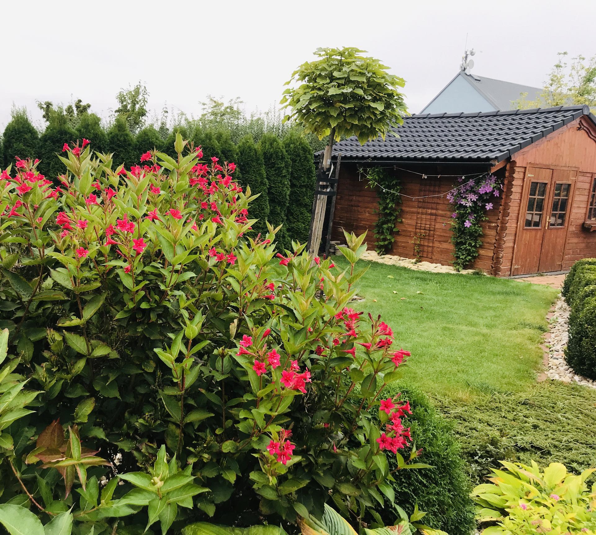 Naše barevná zahrada 🌸 rok 2020 - Vajgelie kvetou podruhe 👌