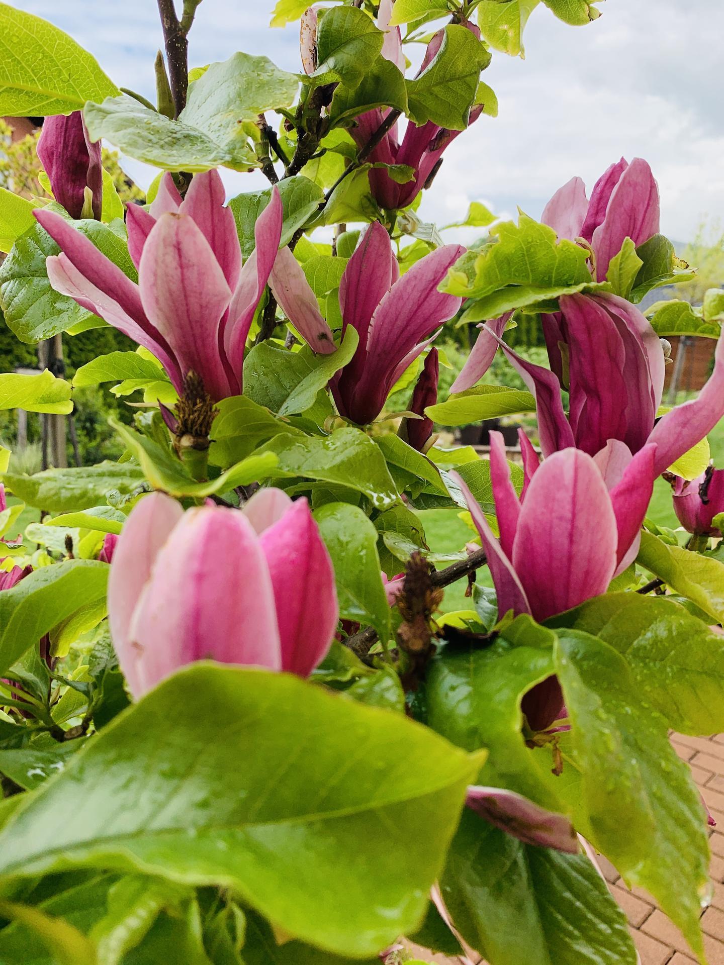 Naše barevná zahrada 🌸 - Magnolie v květu, odrůda Nigra. Kvete dlouho a jak krásní voní 🤗
