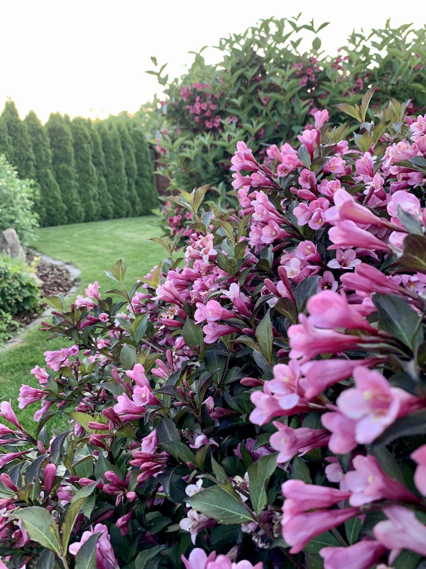 Naše barevná zahrada 🌸 - Vajgélie v květu 🌸