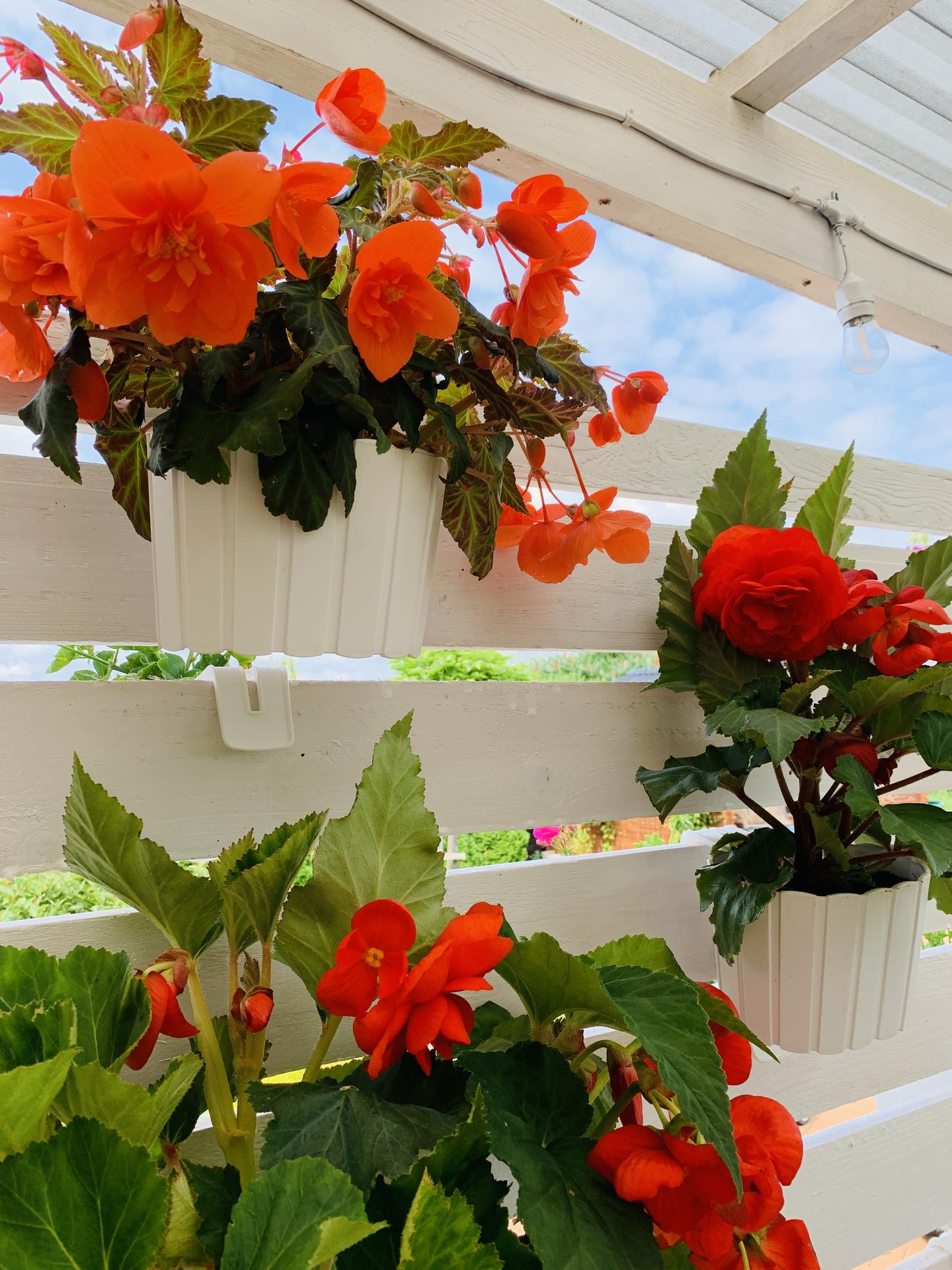 Naše barevná zahrada 🌸 - Begonie mám letos poprvé a evidentně jsou na správném stanovišti 🤗