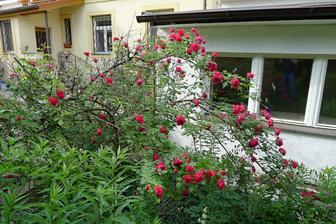 růži sázela asi před 30 lety moje babička....snad stavbu přežije
