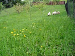 ovečky vo svojom kráľovstve, čiže v mojej záhrade...
