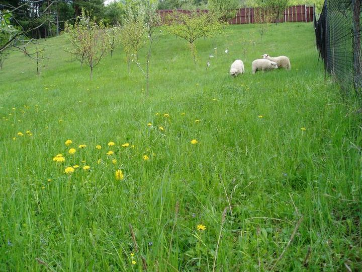 Súčasť domu-záhrada alebo, zelená je dobrá... - ovečky vo svojom kráľovstve, čiže v mojej záhrade...