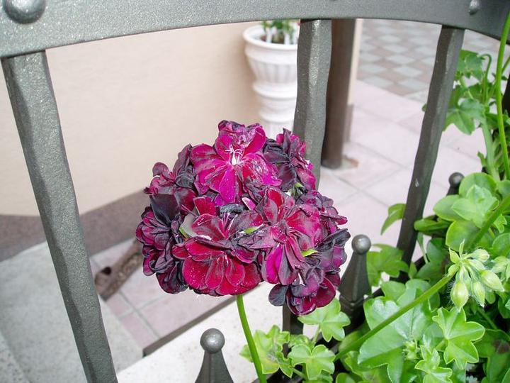 Súčasť domu-záhrada alebo, zelená je dobrá... - nádherná tmavo bordová, keď zasvieti slniečko , ktorého je poskromne, mení farbu do jemne fialova...