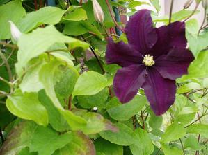 clematis mám v každom rohu záhrady, obdivujem jeho vytrvalosť, vyšplhať sa čo najvyššie...