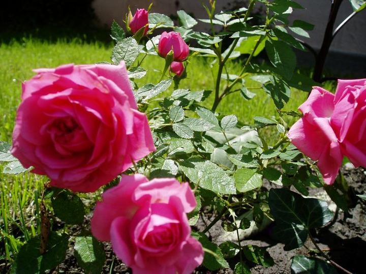 Súčasť domu-záhrada alebo, zelená je dobrá... - ku ružiam netreba komentár, tie hovoria v každej záhrade samé za seba...