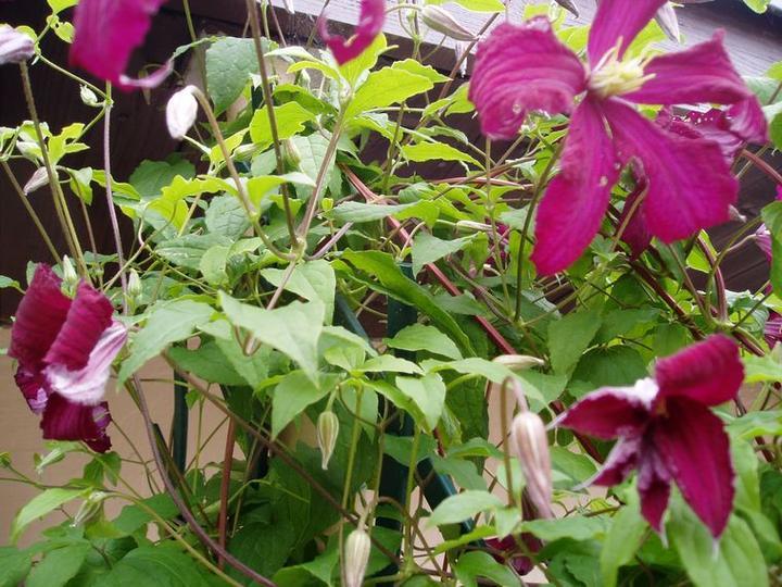 Súčasť domu-záhrada alebo, zelená je dobrá... - Obrázok č. 19