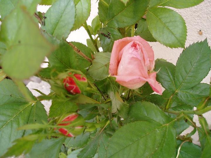 Súčasť domu-záhrada alebo, zelená je dobrá... - tento rok zasadená ale akosi moc rastie do výšky...