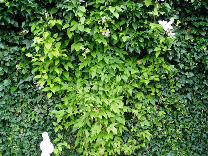 Súčasť domu-záhrada alebo, zelená je dobrá... - takto vyzerá skoro 4 metrová stena po 20 rokoch- brečtan ju krásne obrástol a teším sa na clematis ktorý sa po nej šplhá...