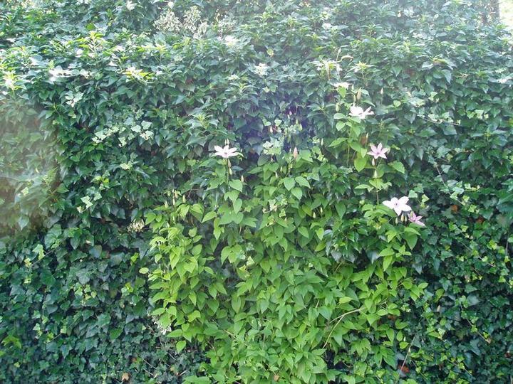 Súčasť domu-záhrada alebo, zelená je dobrá... - brečtan zakryje každú nezrovnalosť, treba ho ale pravidelne strihať, ináč prerastie cez hlavu...