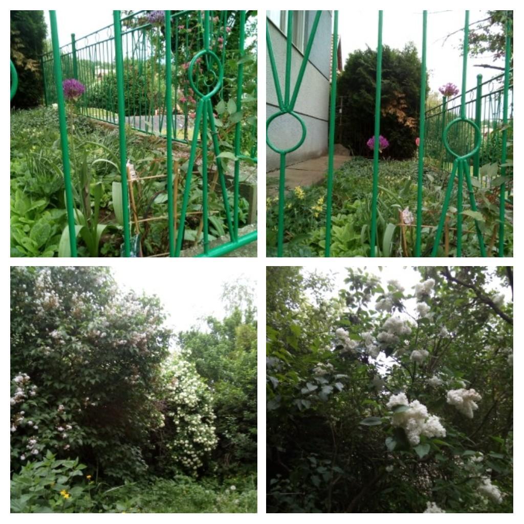 """Naša """"oddychovka"""" - V predzáhradke ozdobný cesnak, zadná neupravená záhrada: kalina, orgován"""