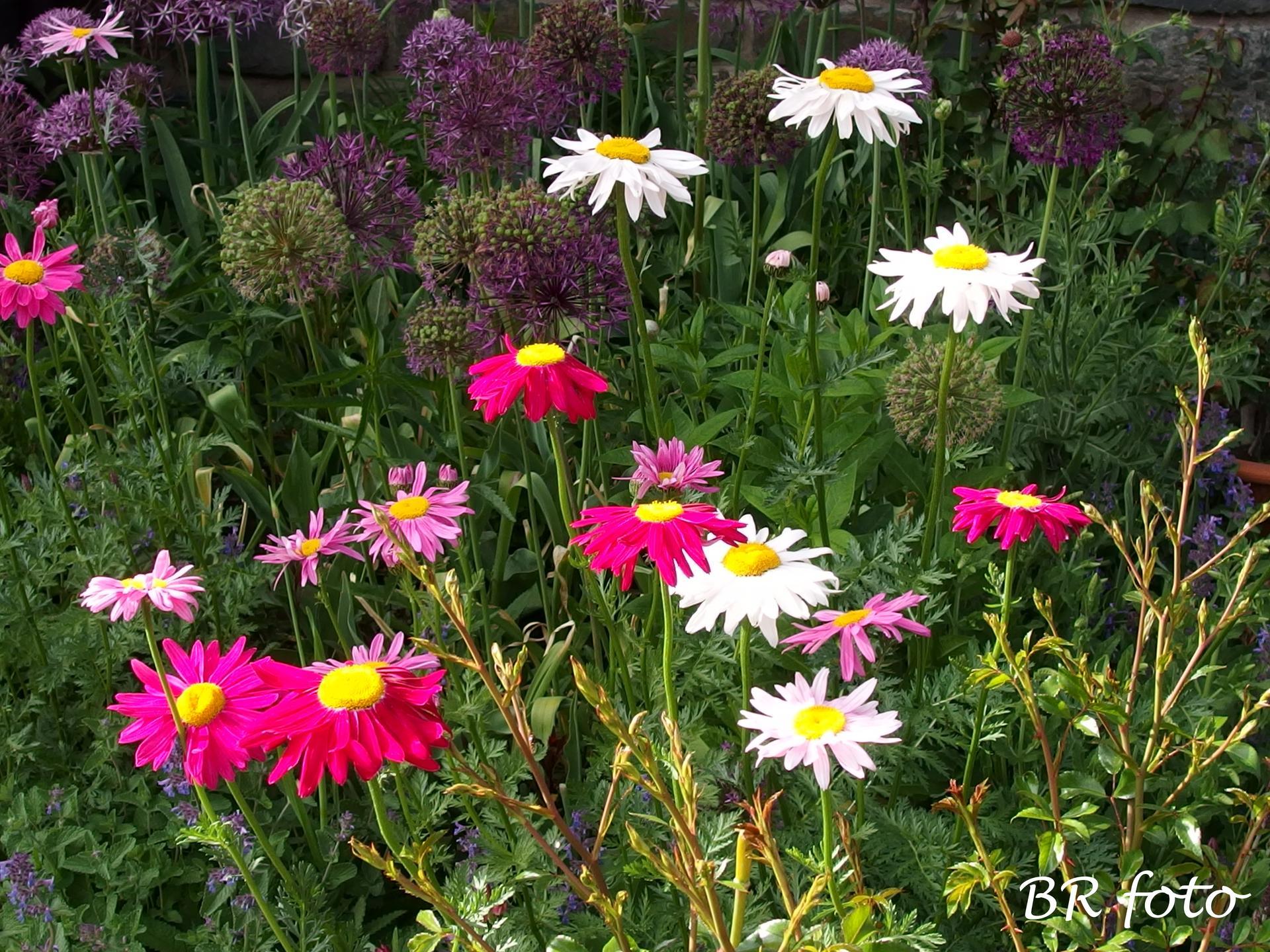 Kopretina řimbaba růžová - vděčná a nenáročná trvalka, vypěstovala jsem ze semínek, má mnoho odstínů růžové od světlounké po tmavou. Je vhodná do smíšených trvalkových záhonů. - Obrázek č. 1