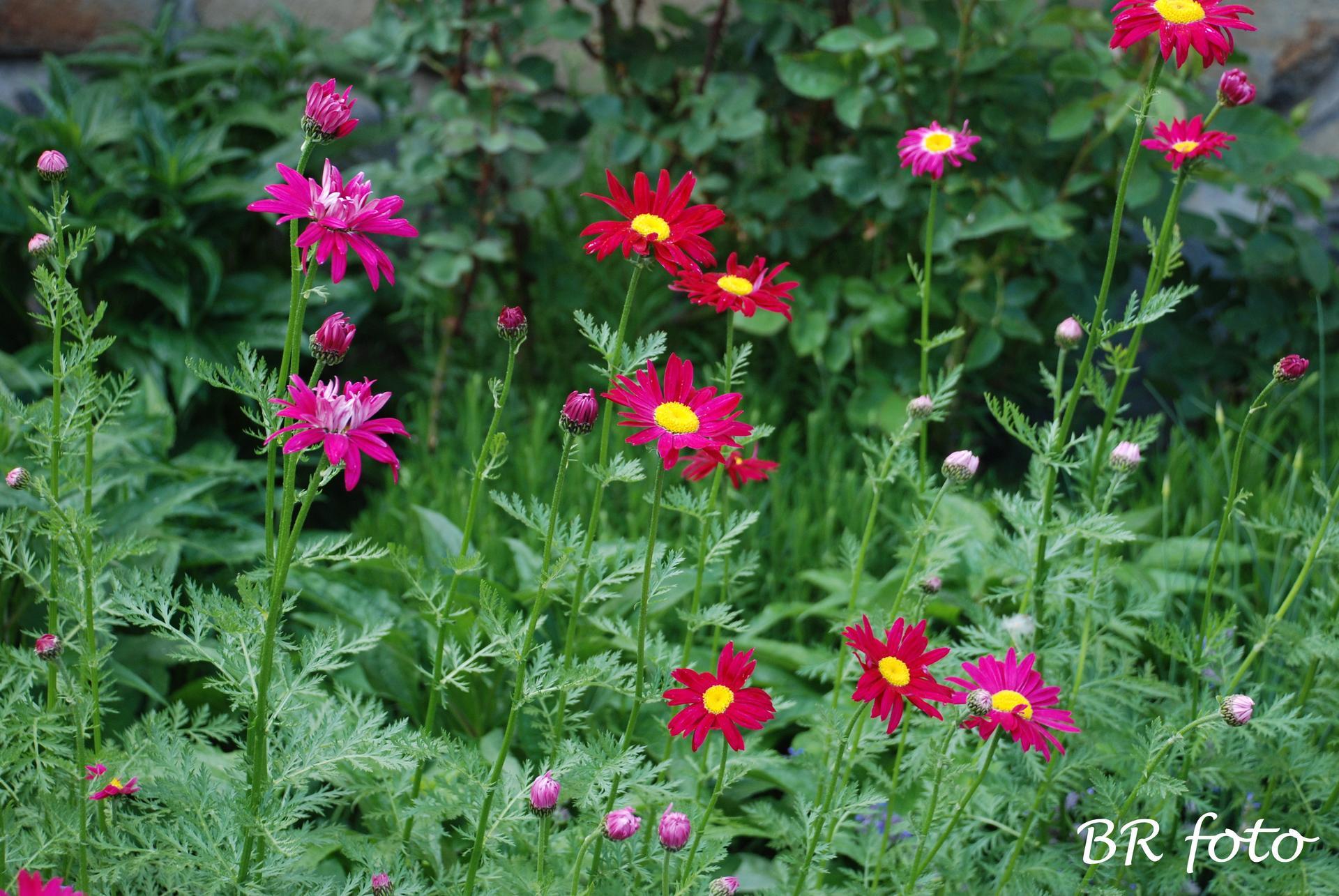 Kopretina řimbaba růžová - vděčná a nenáročná trvalka, vypěstovala jsem ze semínek, má mnoho odstínů růžové od světlounké po tmavou. Je vhodná do smíšených trvalkových záhonů. - Obrázek č. 2