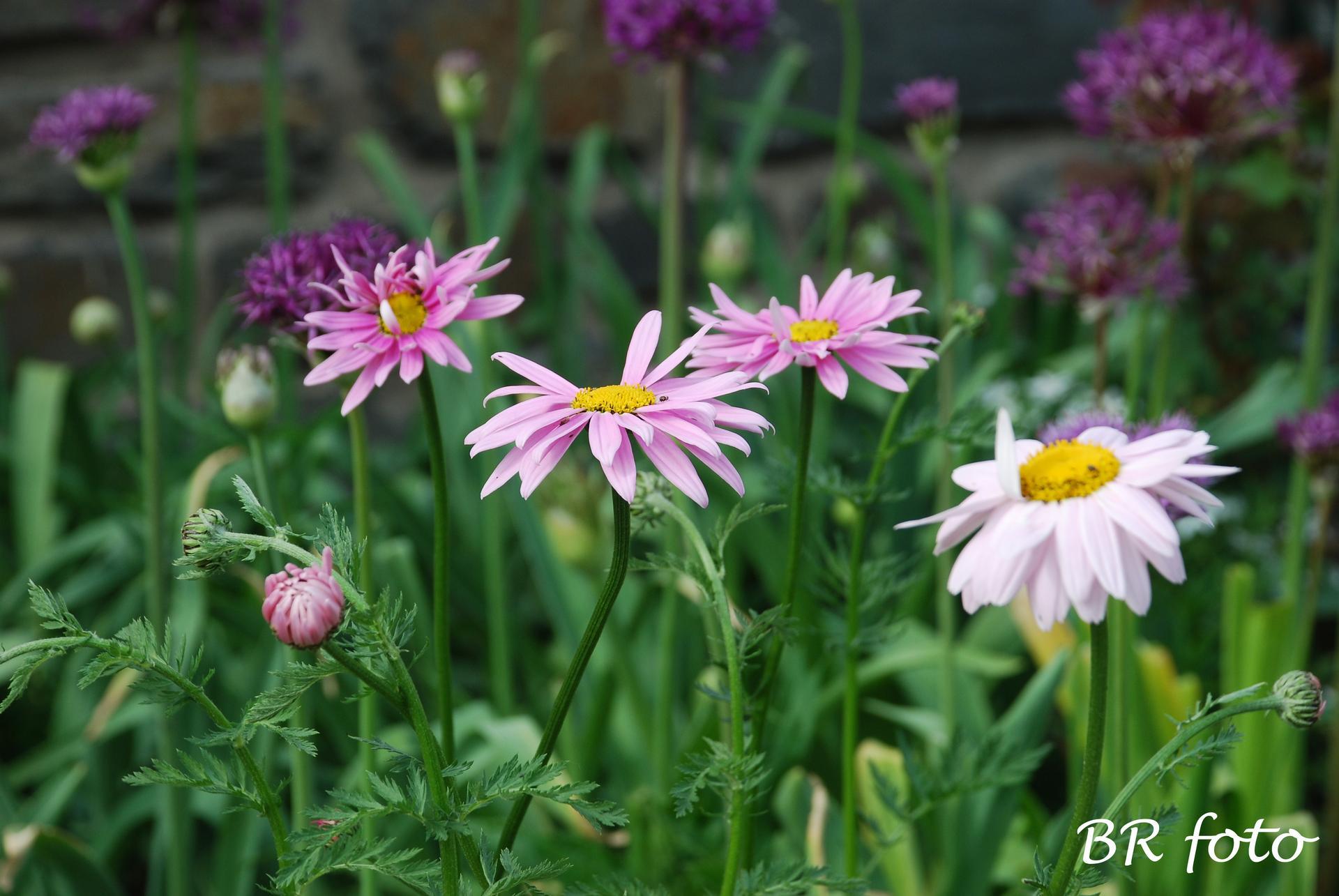 Kopretina řimbaba růžová - vděčná a nenáročná trvalka, vypěstovala jsem ze semínek, má mnoho odstínů růžové od světlounké po tmavou. Je vhodná do smíšených trvalkových záhonů. - Obrázek č. 3