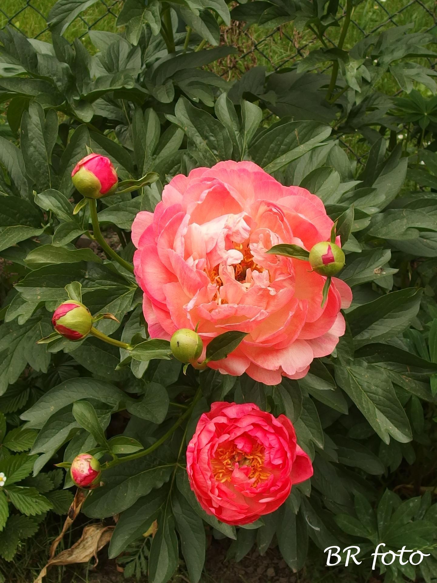 Zahrada na začátku června - Obrázek č. 3