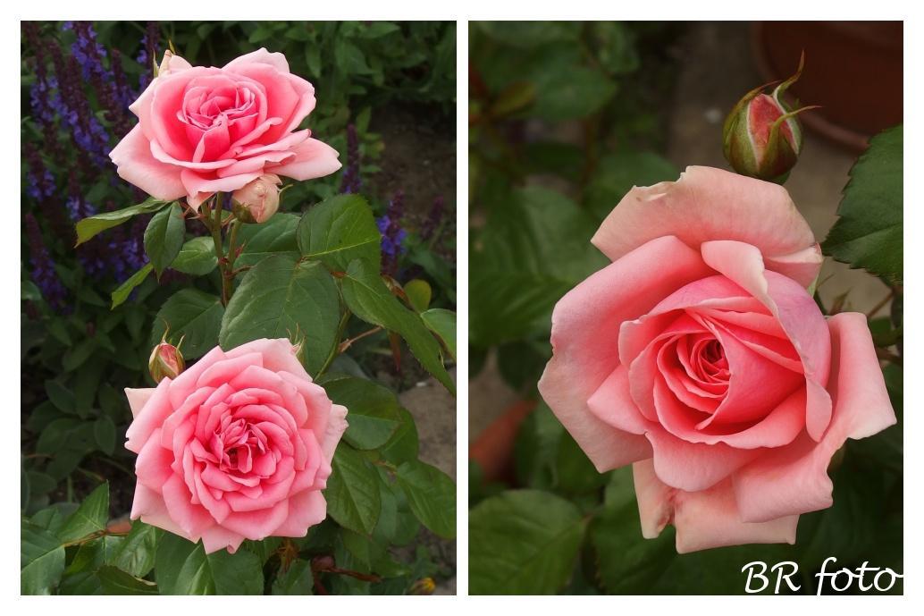 Zahrada v červnu - vše roste a kvete jako o život.... - růže Kimono