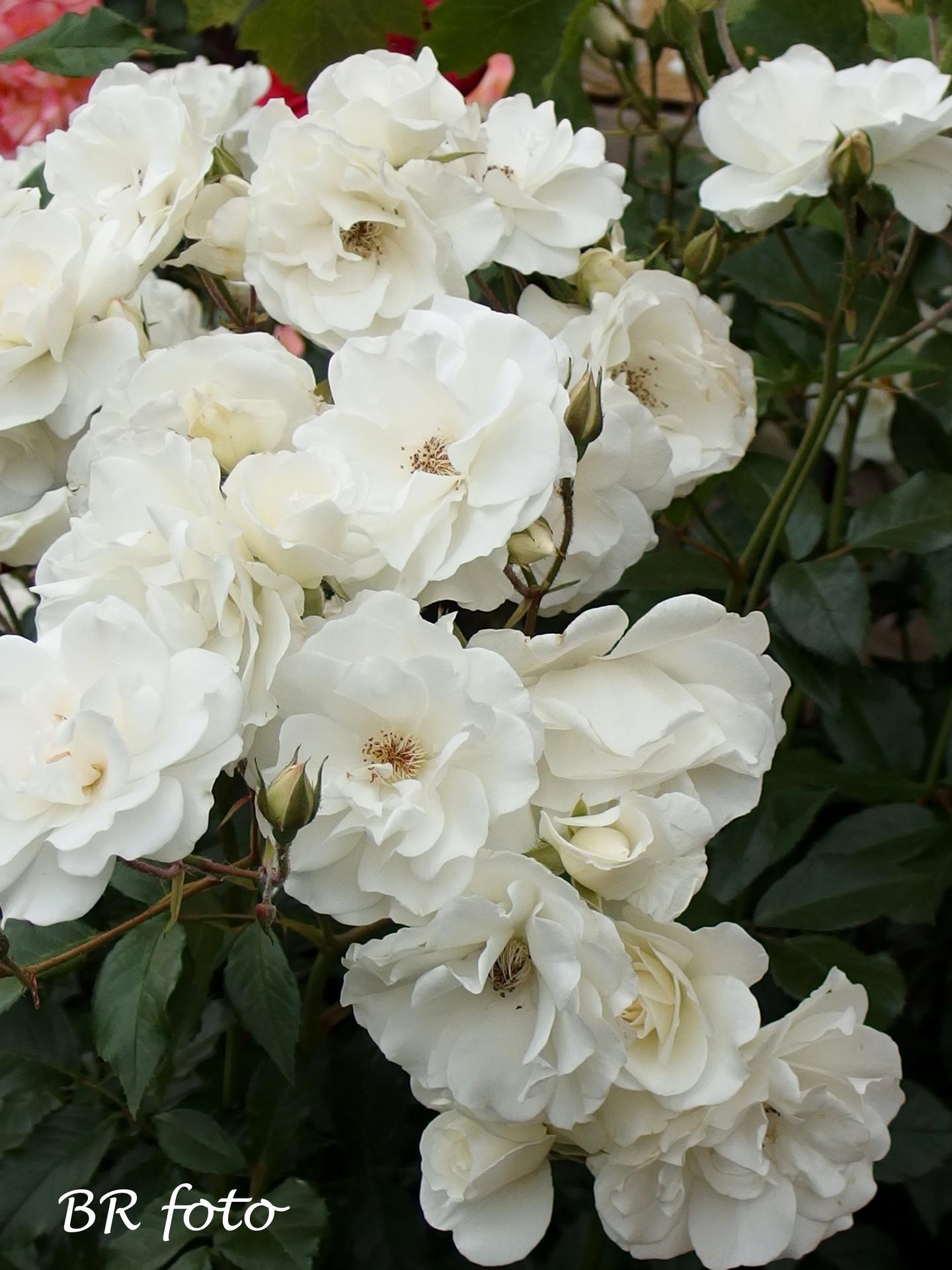 Zahrada v červnu - vše roste a kvete jako o život.... - mé oblíbené růže