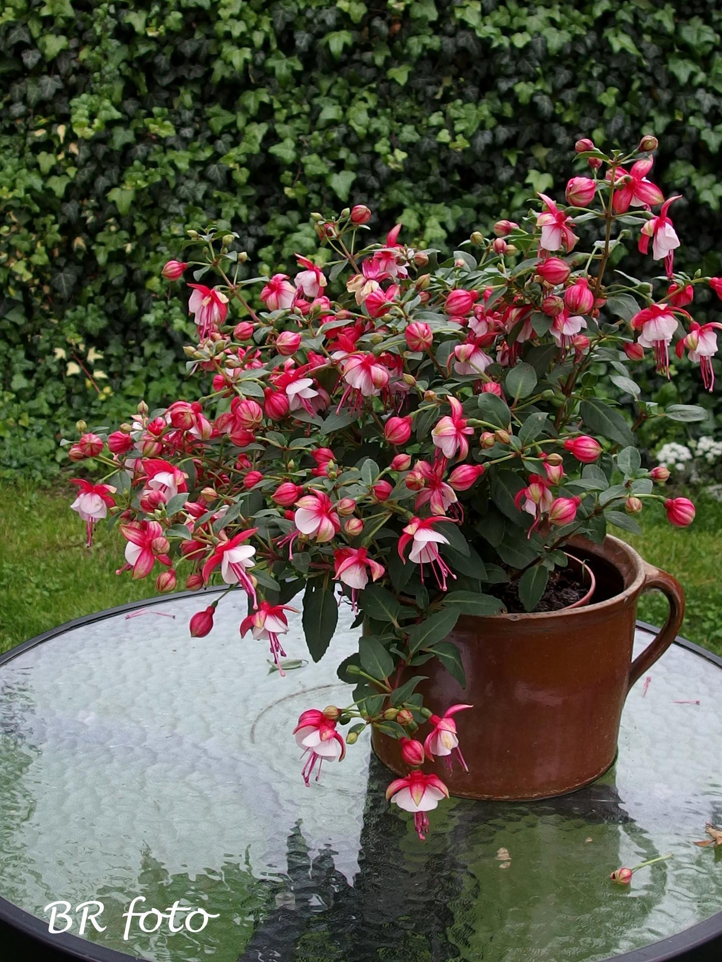 Zahrada v červnu - vše roste a kvete jako o život.... - fuchsie je teď nádherná