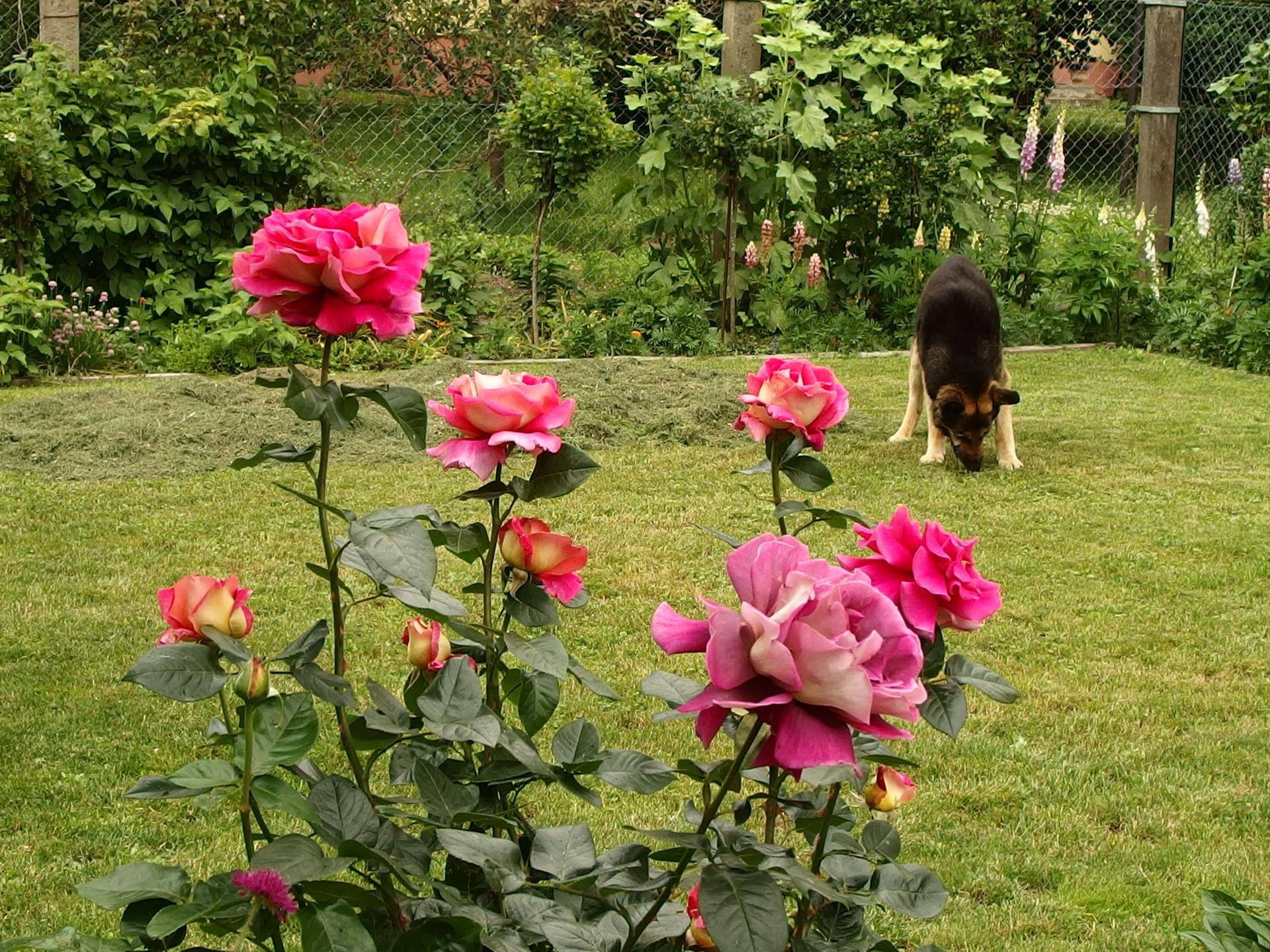 Zahrada v červnu - vše roste a kvete jako o život.... - zadní část zahrady, kde jsou u plotu rybíz, angrešt, maliny i kytky