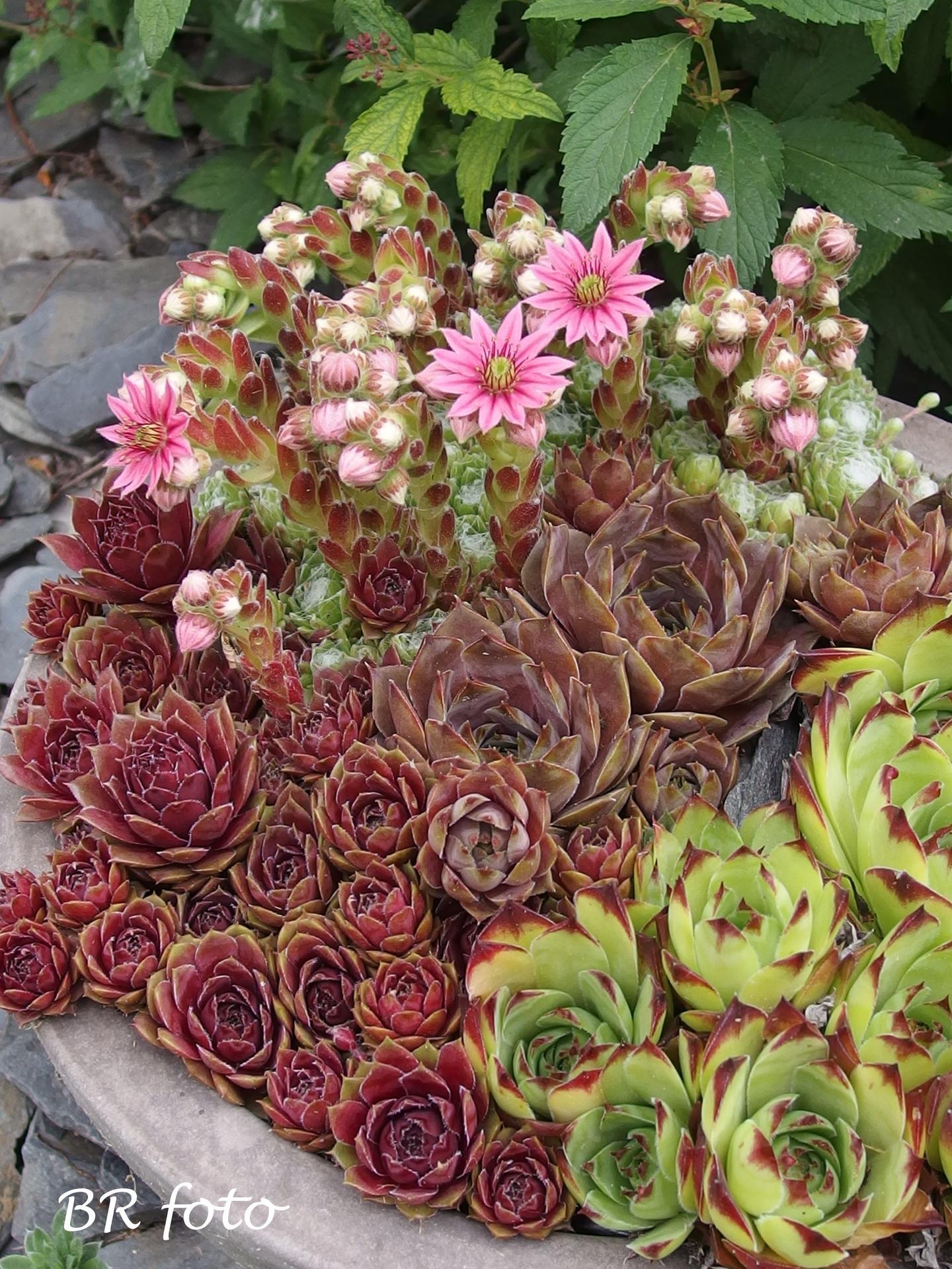 Zahrada v červnu - vše roste a kvete jako o život.... - Obrázek č. 5