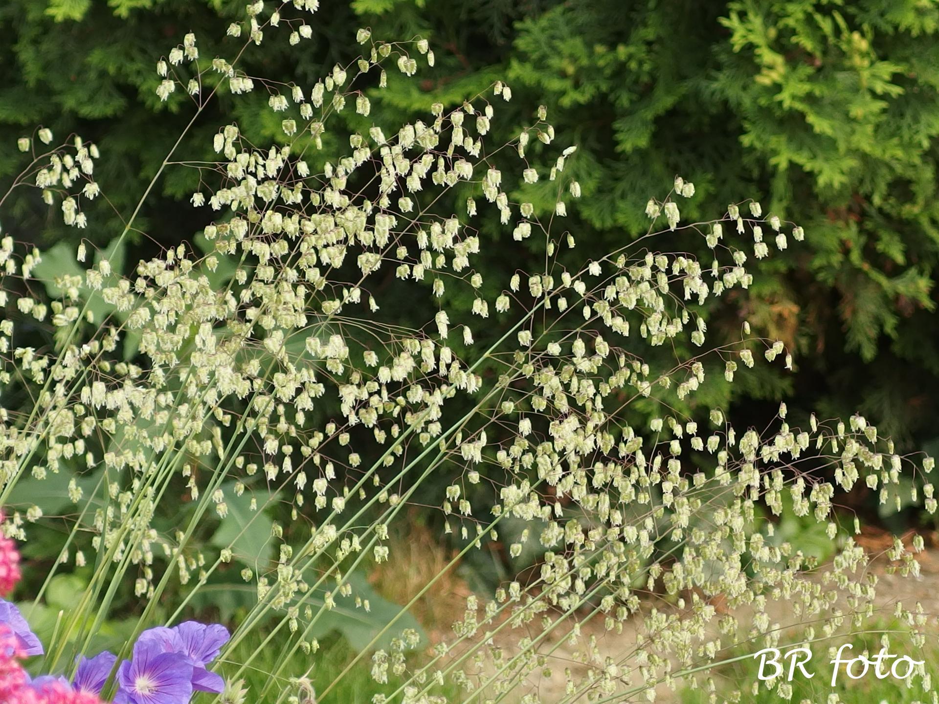 Zahrada v červnu - vše roste a kvete jako o život.... - briza media - třeslice prostřední, tráva - trvalka