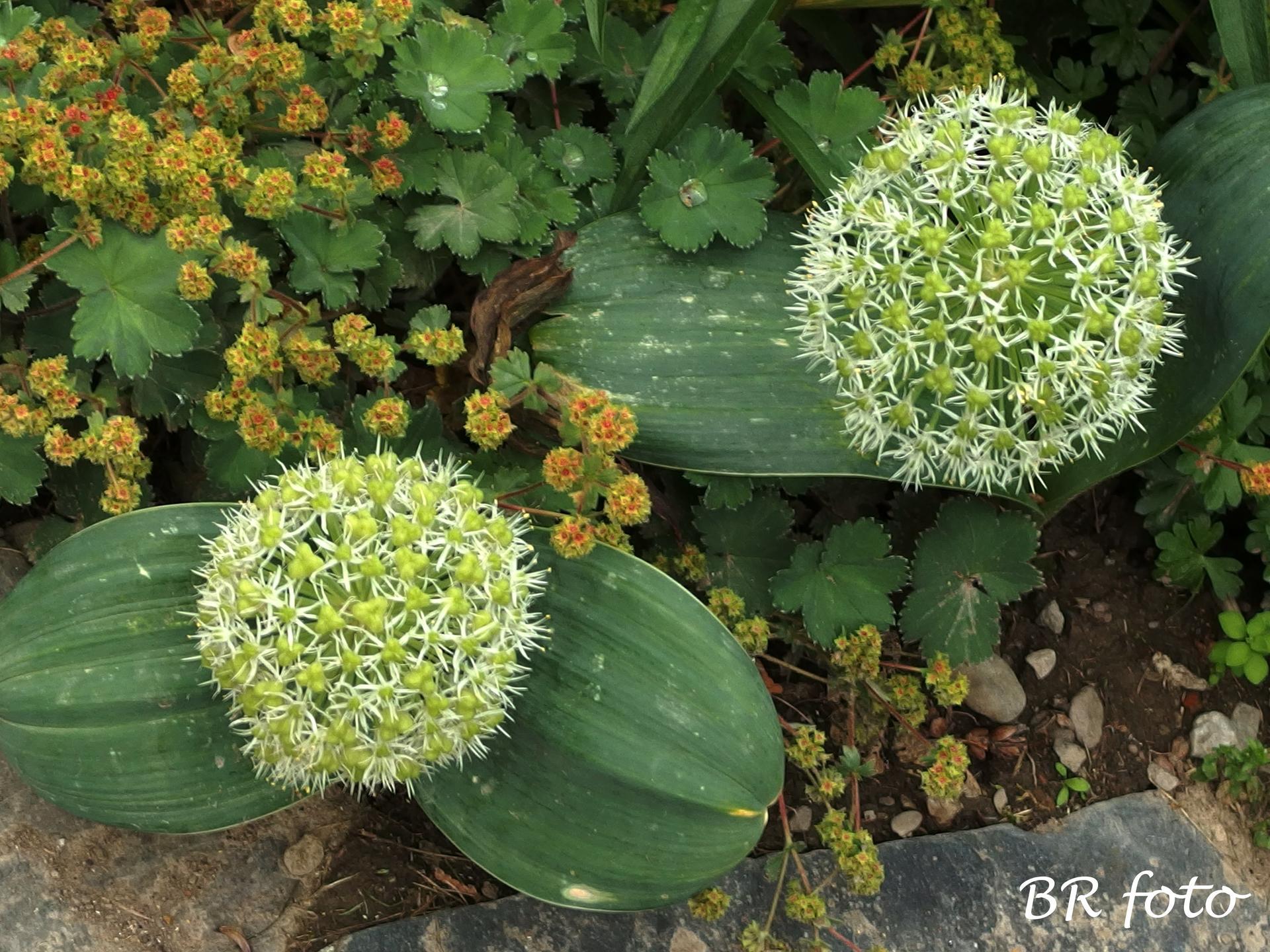 Zahrada v červnu - vše roste a kvete jako o život.... - česnek karatavský a kontryhel