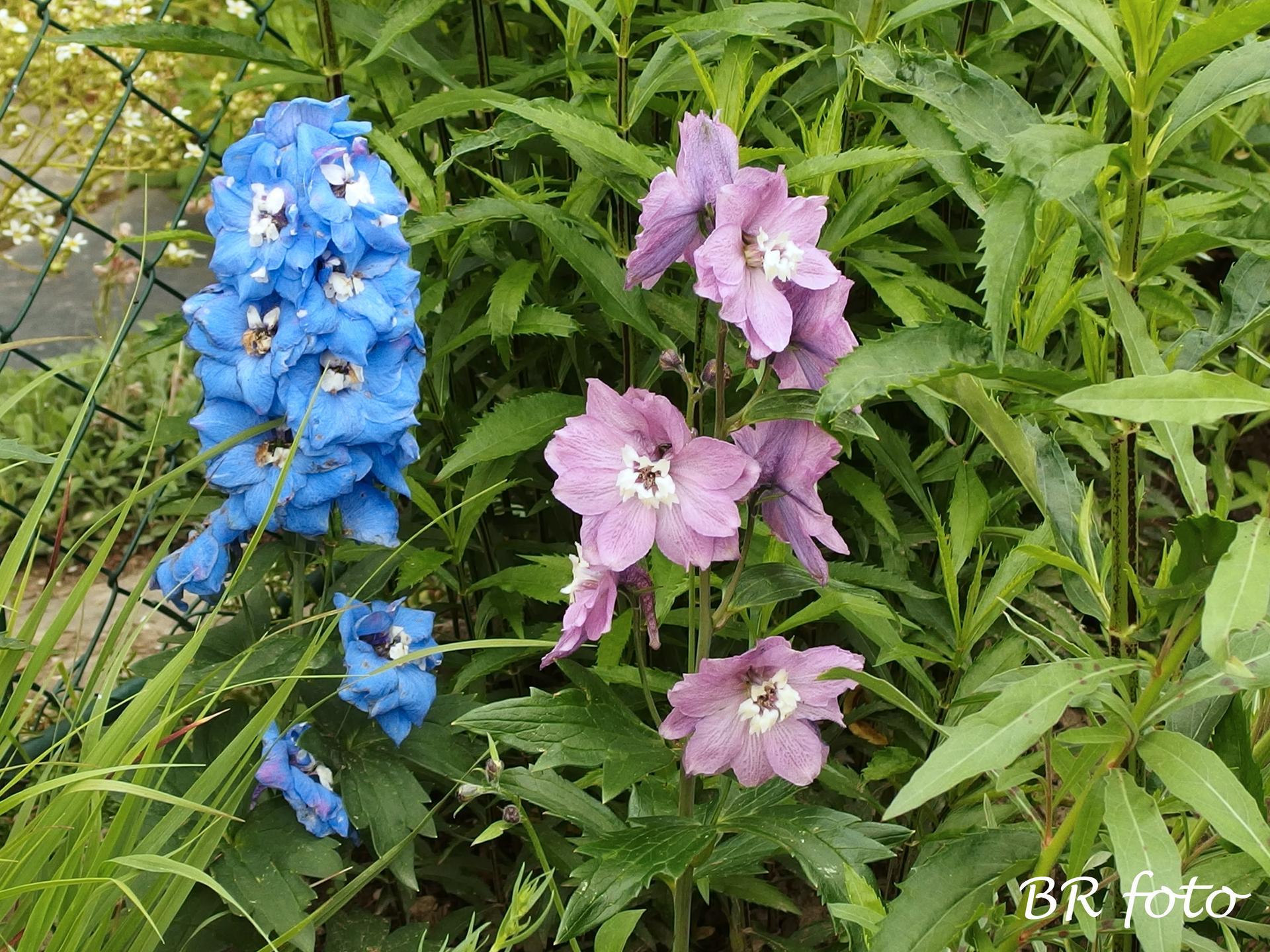 Zahrada v červnu - vše roste a kvete jako o život.... - nízká ostrožka stračka - nová, ta loňská živoří, ani nekvetla...
