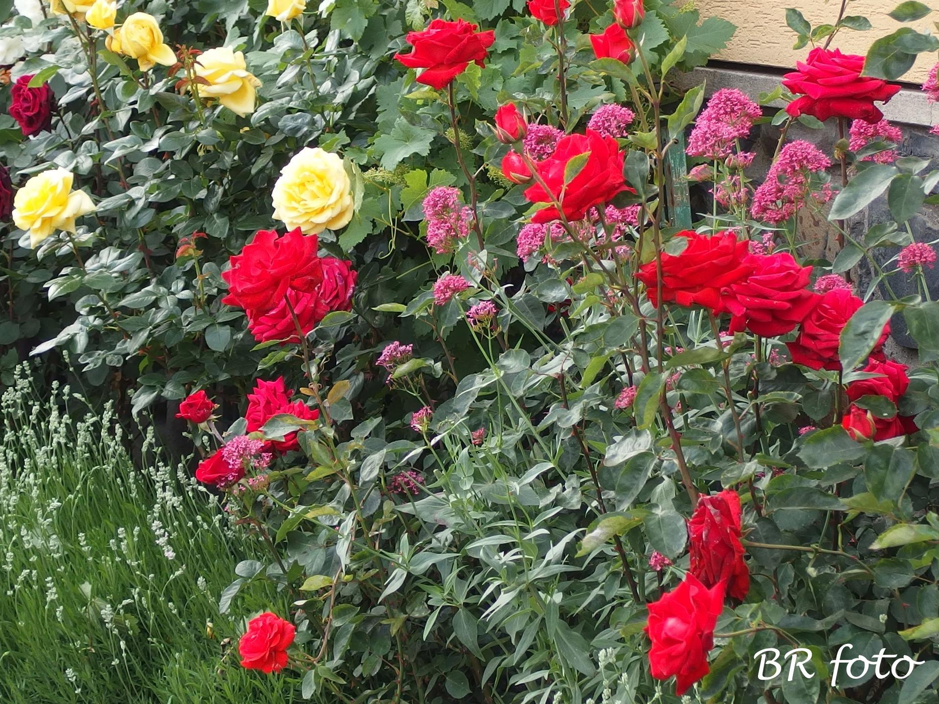 Zahrada v červnu - vše roste a kvete jako o život.... - čas růží