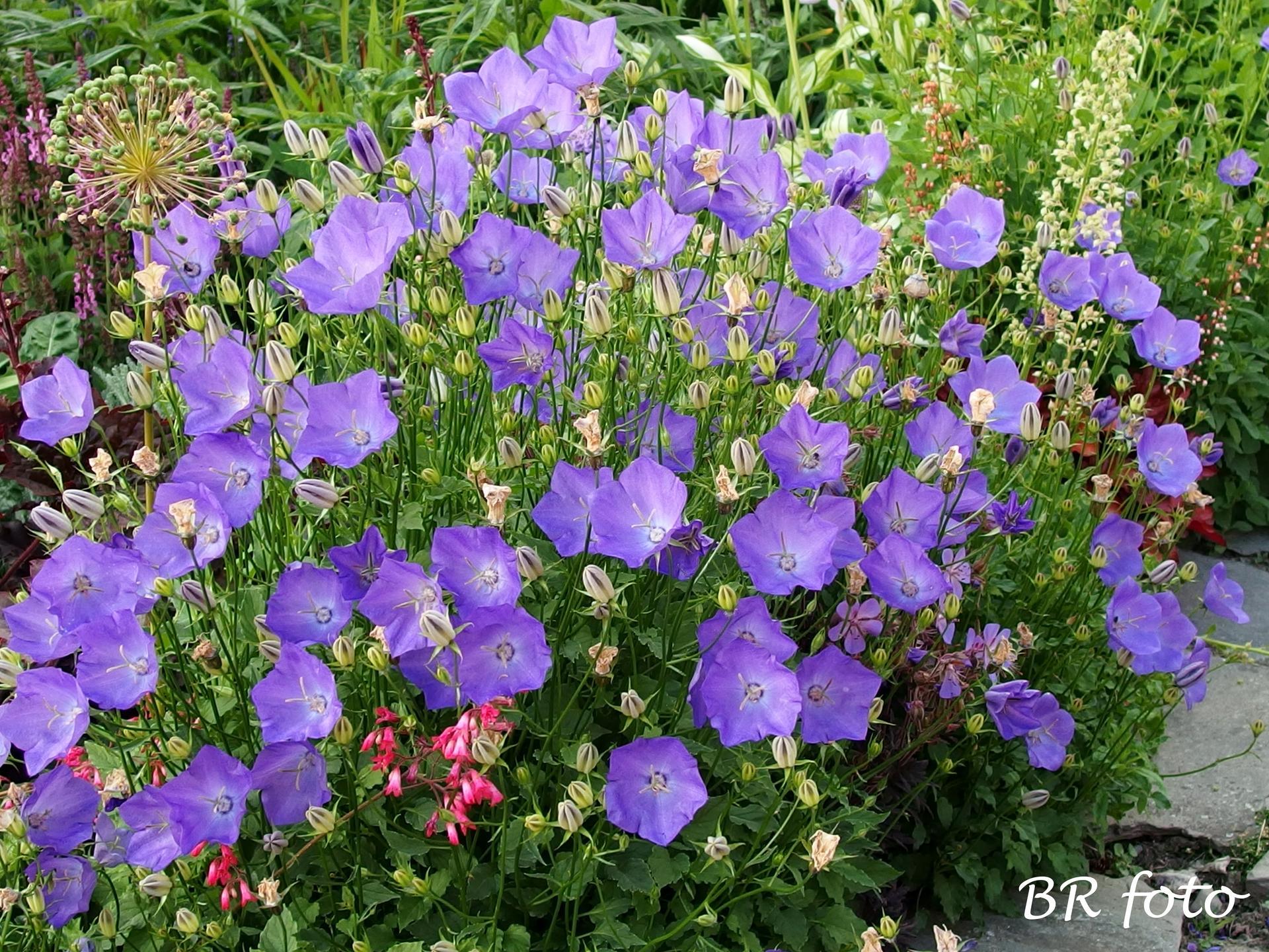Zahrada v červnu - vše roste a kvete jako o život.... - Obrázek č. 18