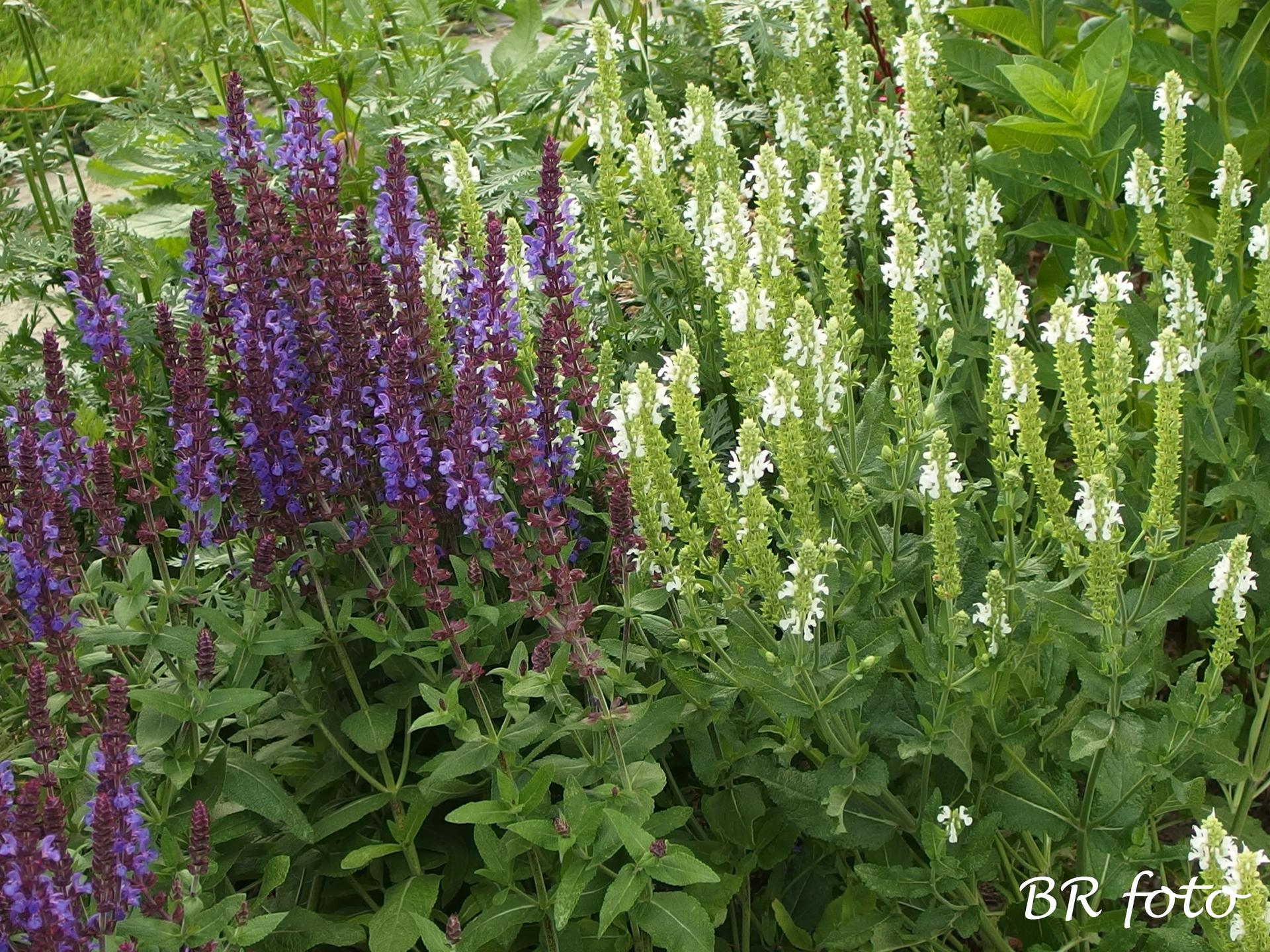Zahrada v červnu - vše roste a kvete jako o život.... - šalvěje, už brzy je ostříhám, aby opět kvetly