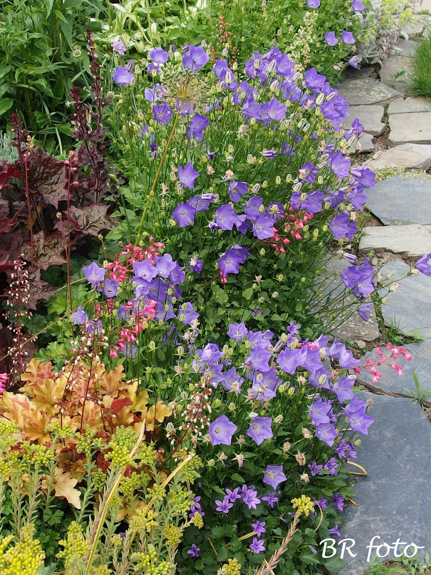 Zahrada v červnu - vše roste a kvete jako o život.... - mé oblíbené zvonky