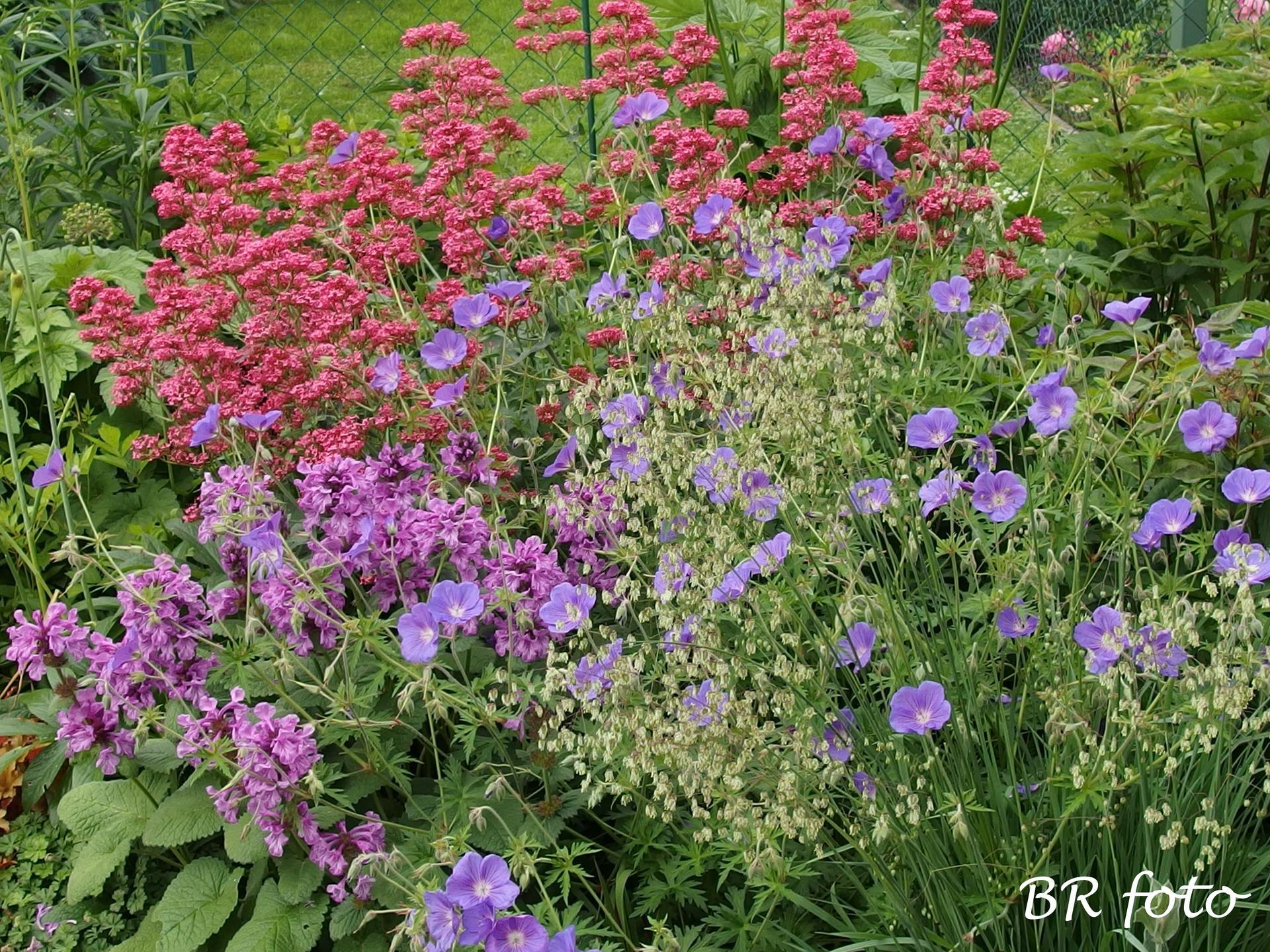 Zahrada v červnu - vše roste a kvete jako o život.... - mavuň, kakost, čistec, třeslice
