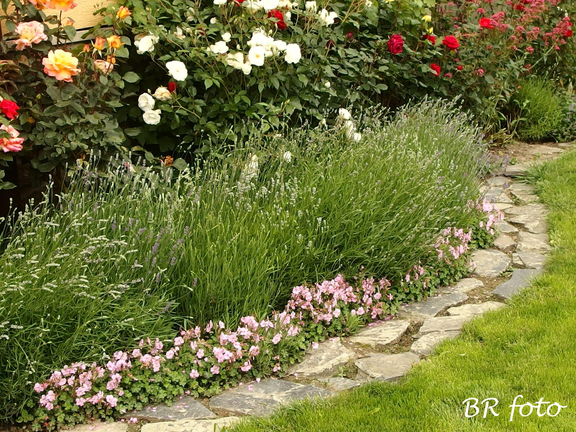 Zahrada v červnu - vše roste a kvete jako o život.... - levá strana předzahrádky, okraj záhonu lemují pokryvné kakosty, vyšší patro tvoří levandule a nejvyšší růže