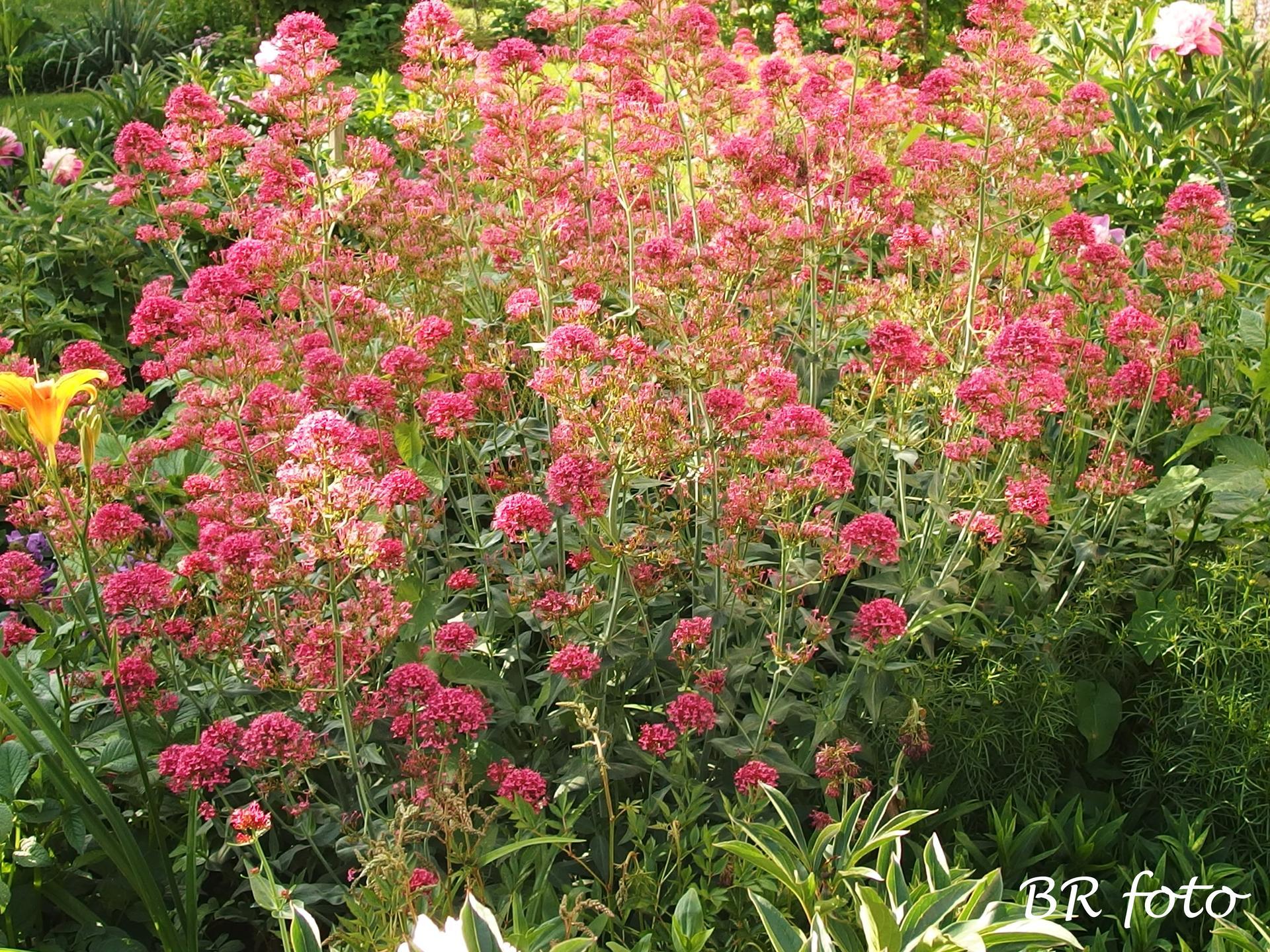 Zahrada v červnu - vše roste a kvete jako o život.... - mavuň je velká a rozložitá jako keř, musím ji zredukovat a ostříhat než dozrají semena
