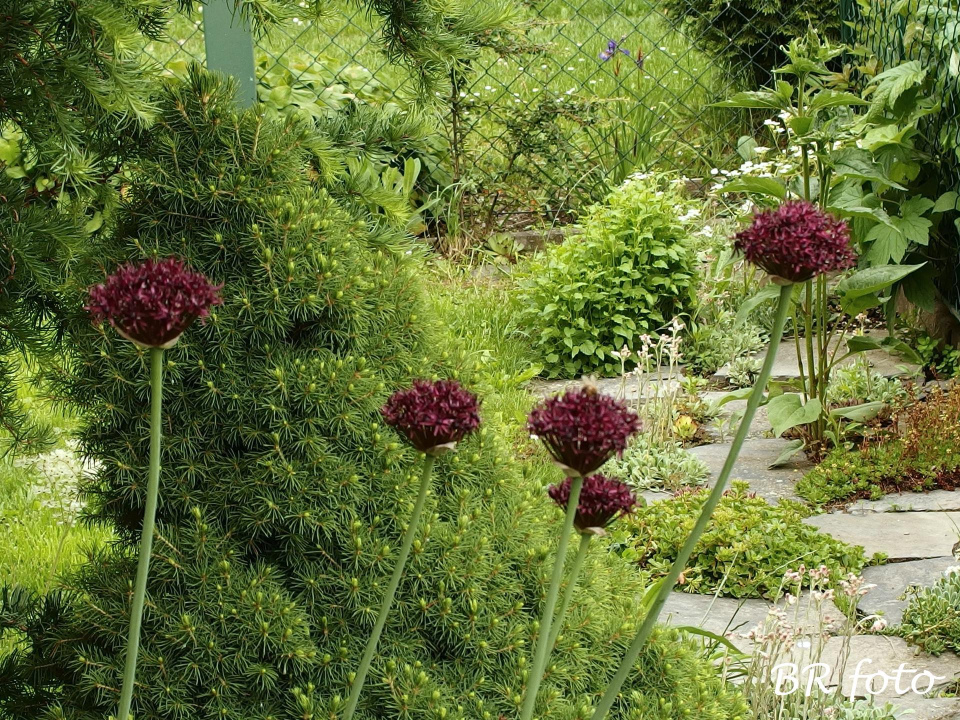 Zahrada v červnu - vše roste a kvete jako o život.... - Obrázek č. 8