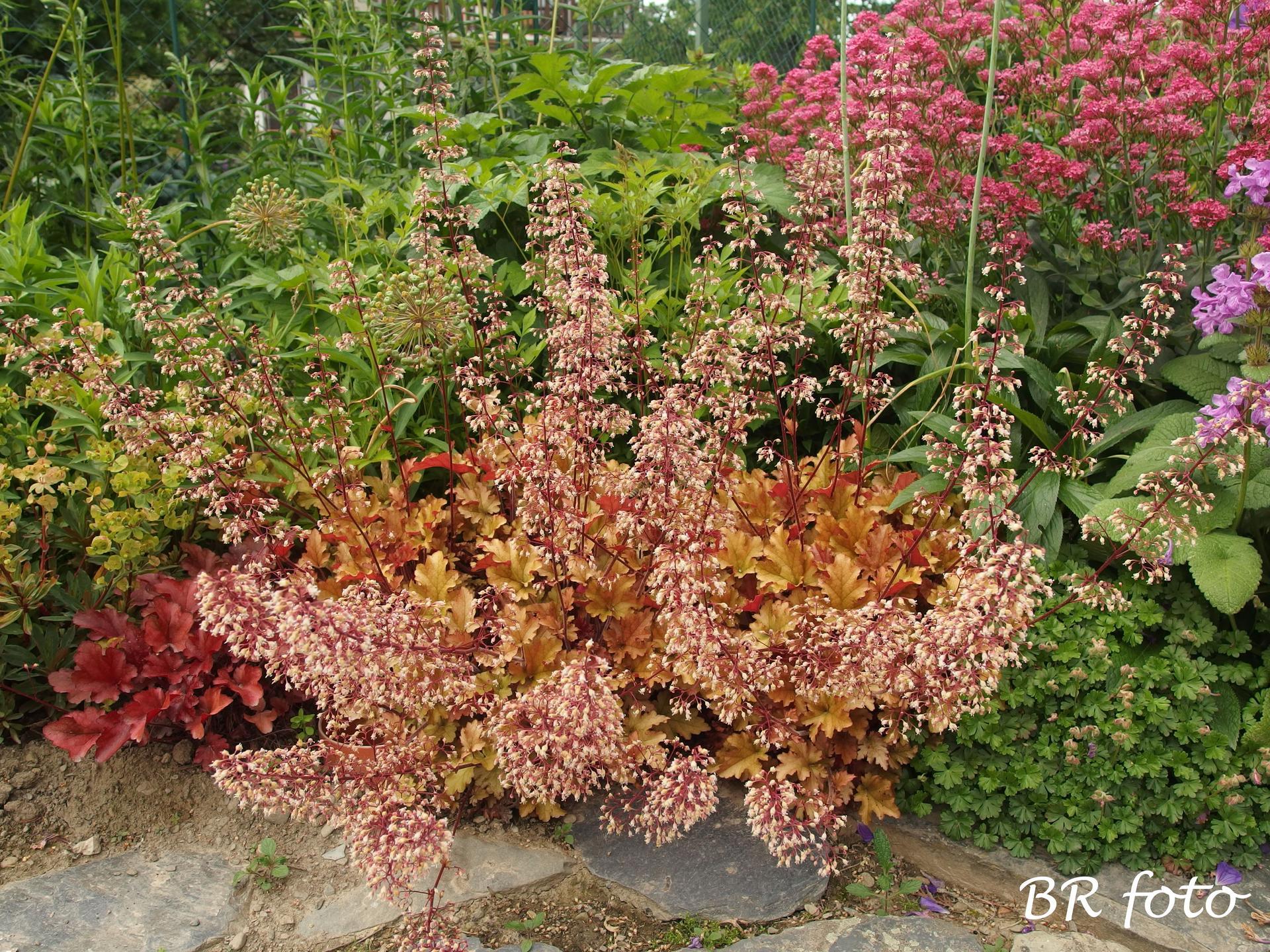 Zahrada v červnu - vše roste a kvete jako o život.... - dlužichy jsou samý květ