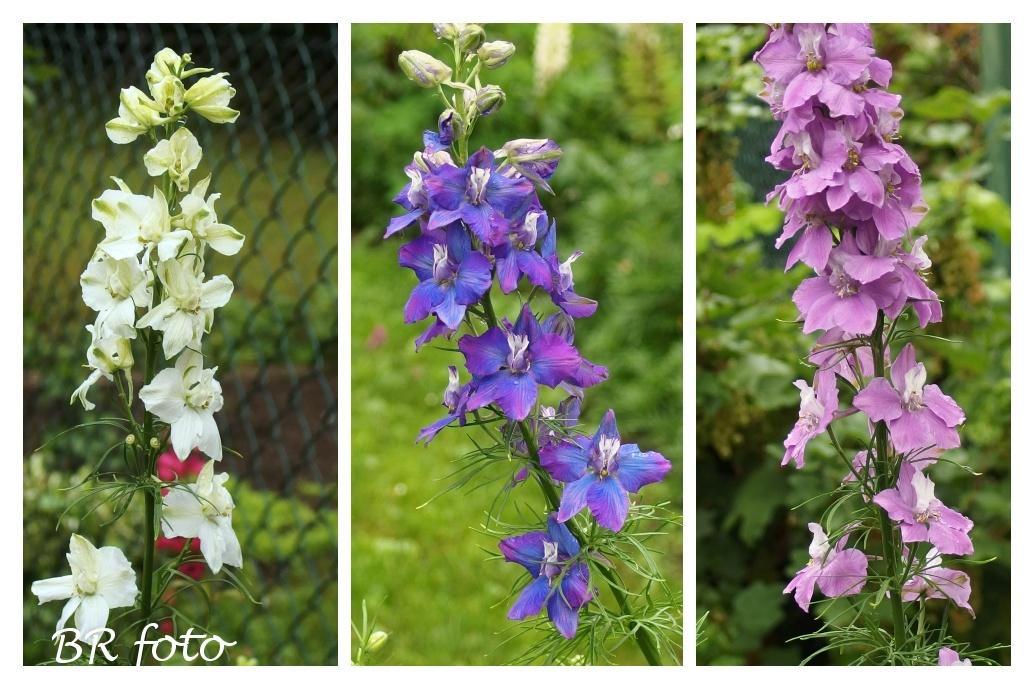 Zahrada v červnu - vše roste a kvete jako o život.... - ostrožka stračka letnička, vloni jsem ji vypěstovala, letos si vyrostla sama ze samovýsevu