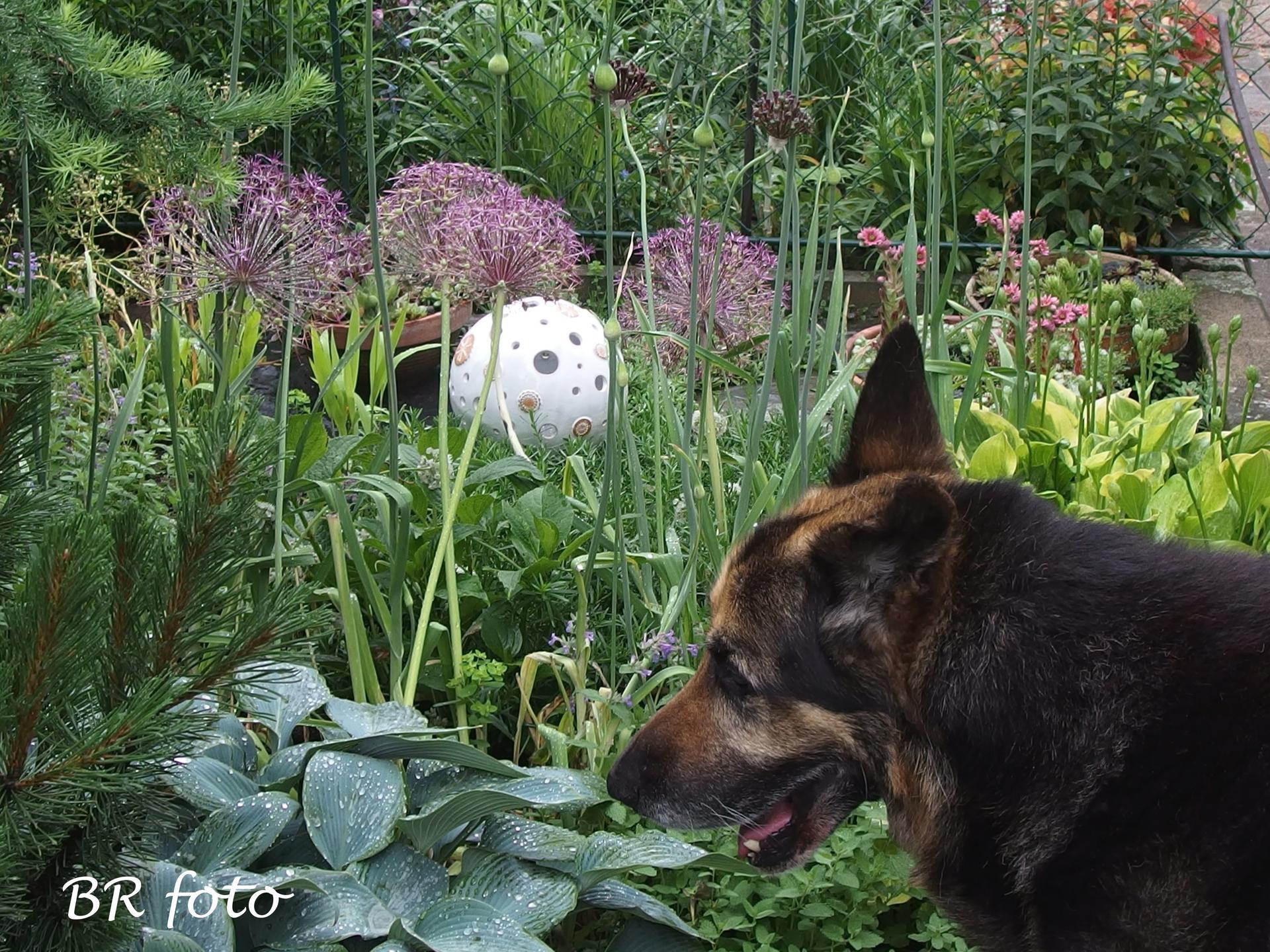 Zahrada v červnu - vše roste a kvete jako o život.... - staroušek se nacpal do záběru