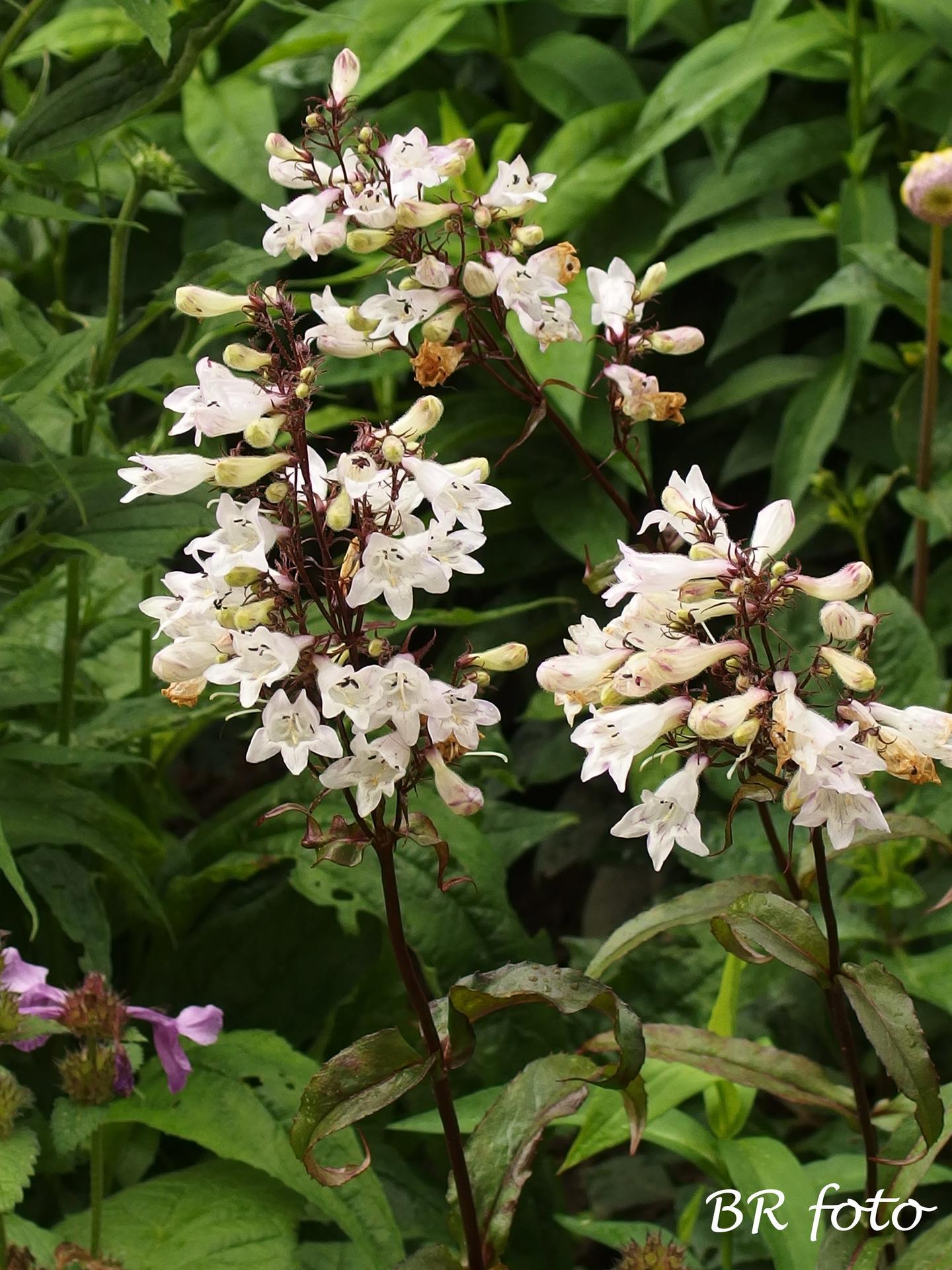 Zahrada v červnu - vše roste a kvete jako o život.... - dračík