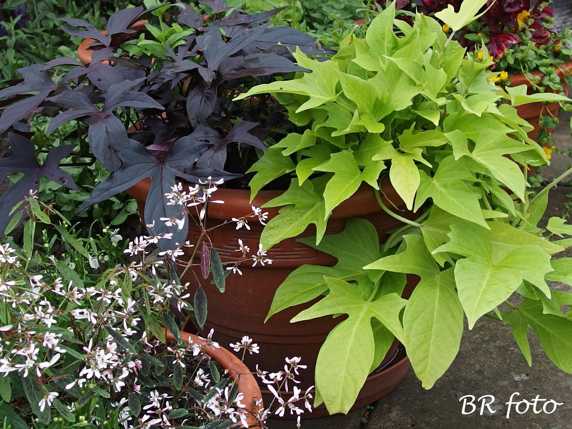 Zahrada v červnu - vše roste a kvete jako o život.... - povíjnice batátová, vlevo dole pryšec třezalkovitý