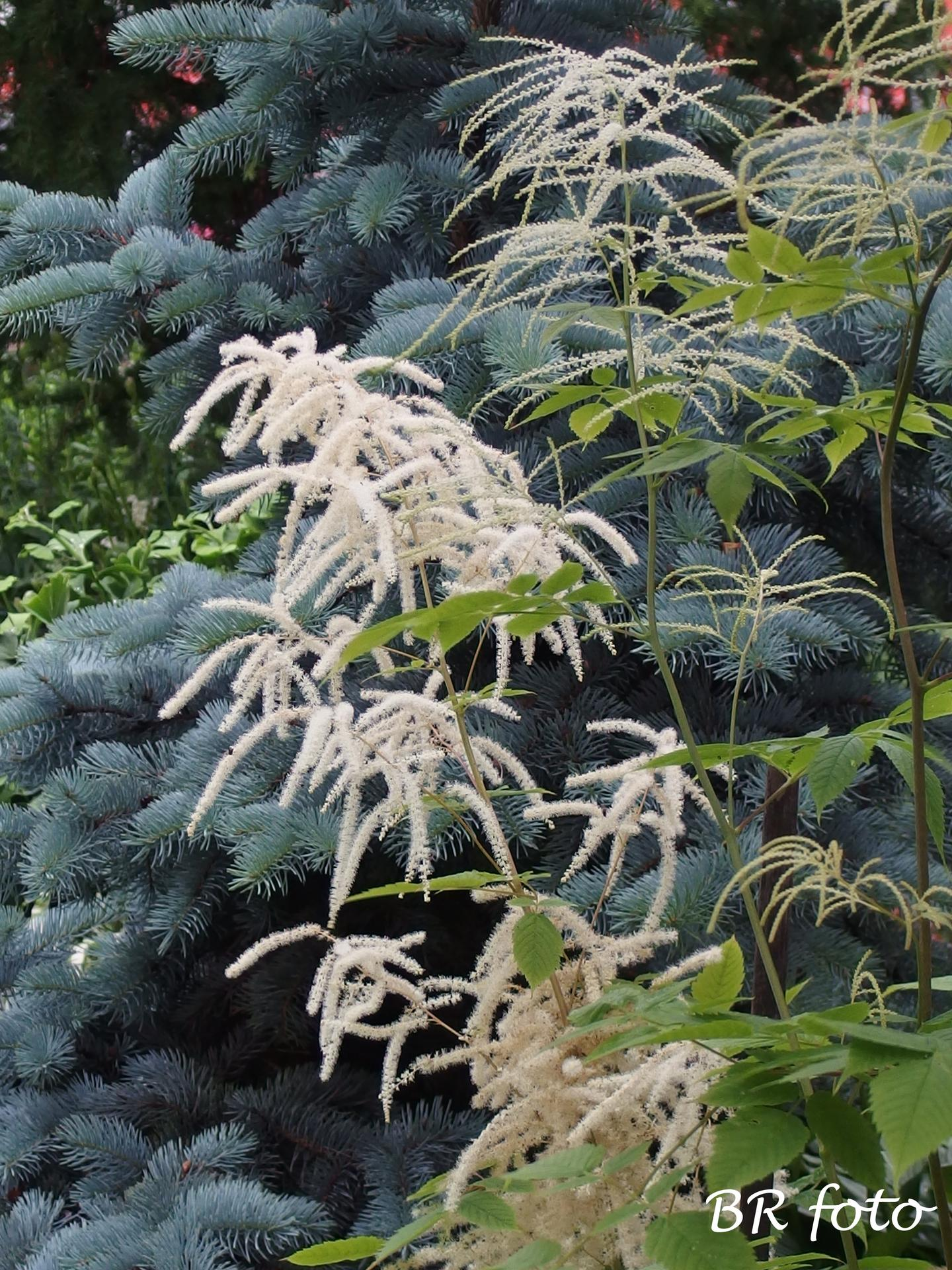 Zahrada v červnu - vše roste a kvete jako o život.... - udatna lesní